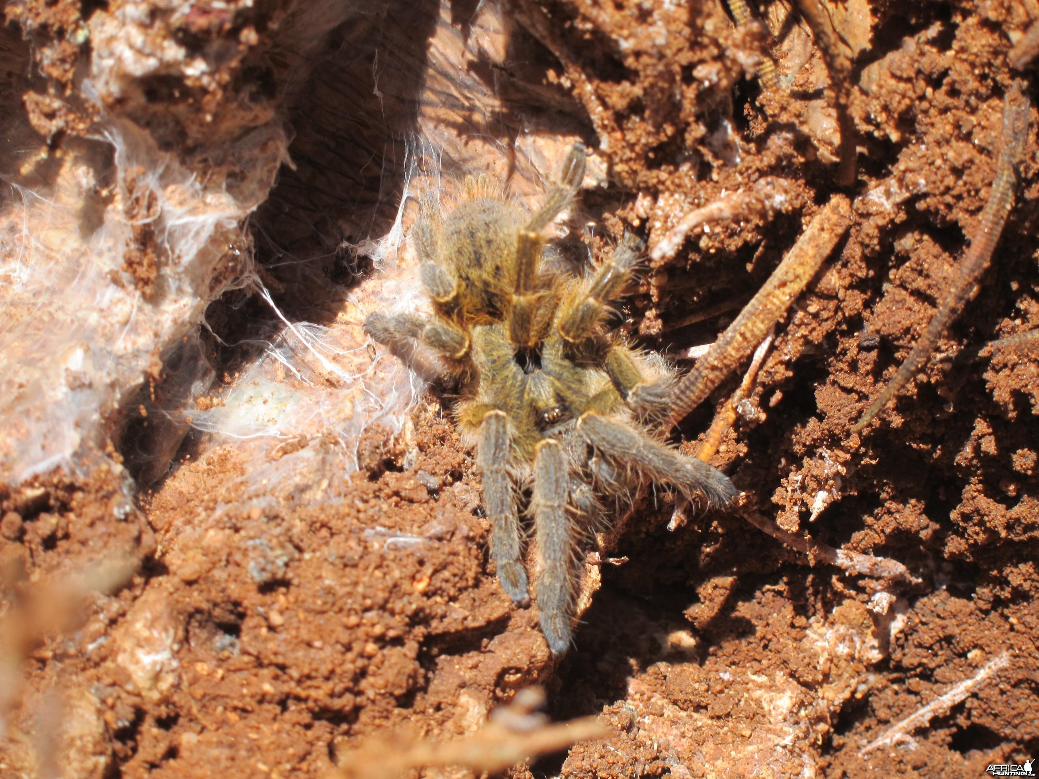Tarantula Namibia