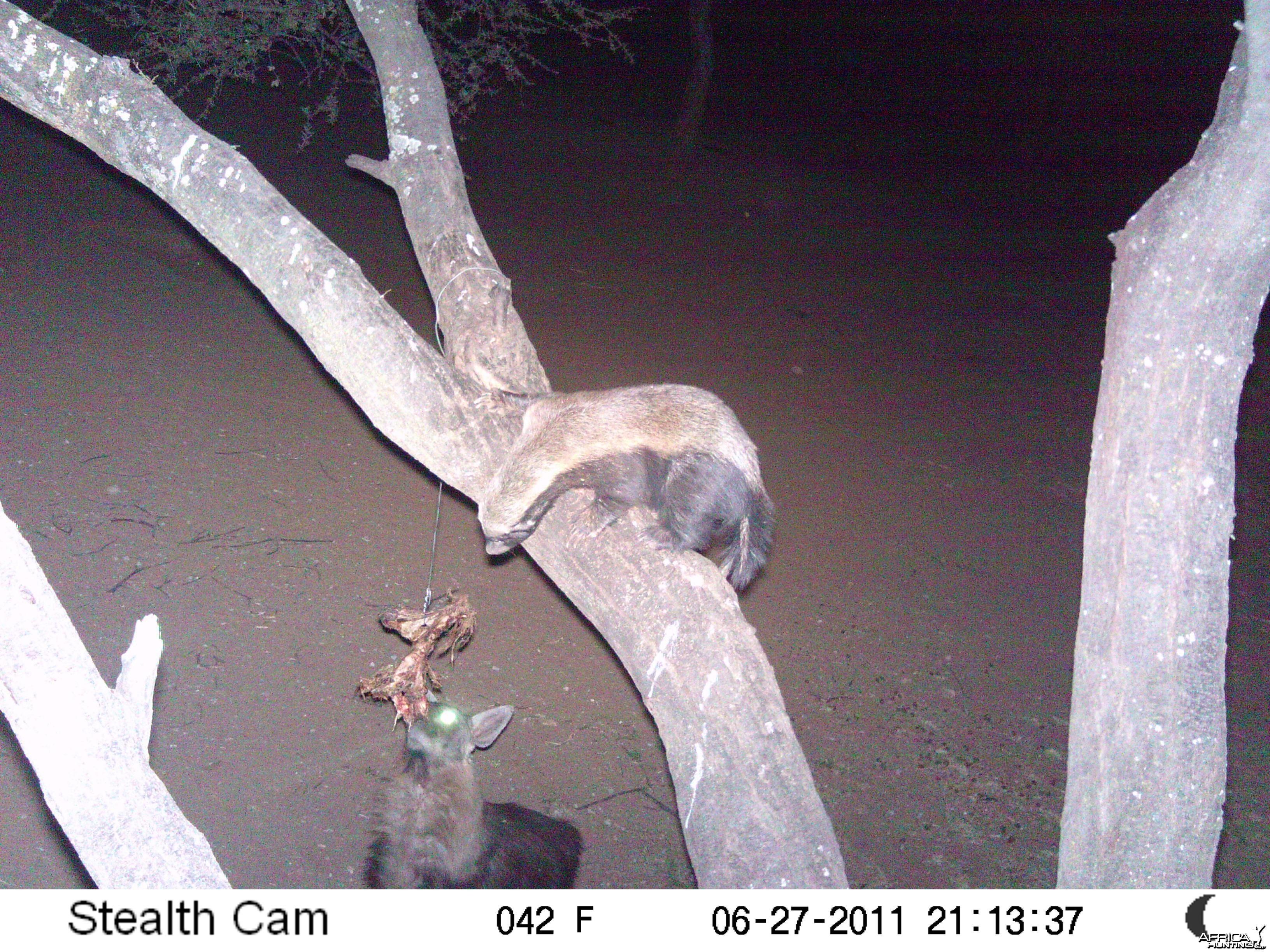 Brown Hyena Namibia