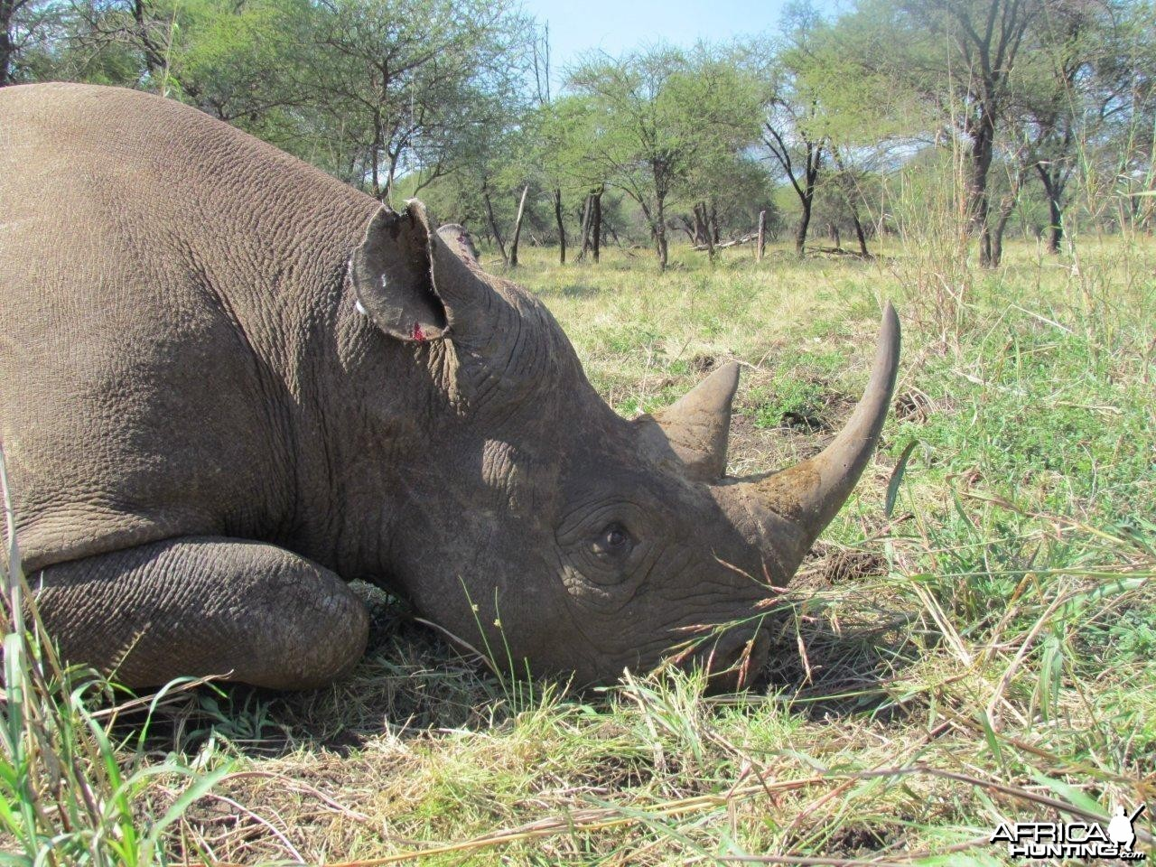 East African Black Rhino darted hunt at Silent Valley Safaris