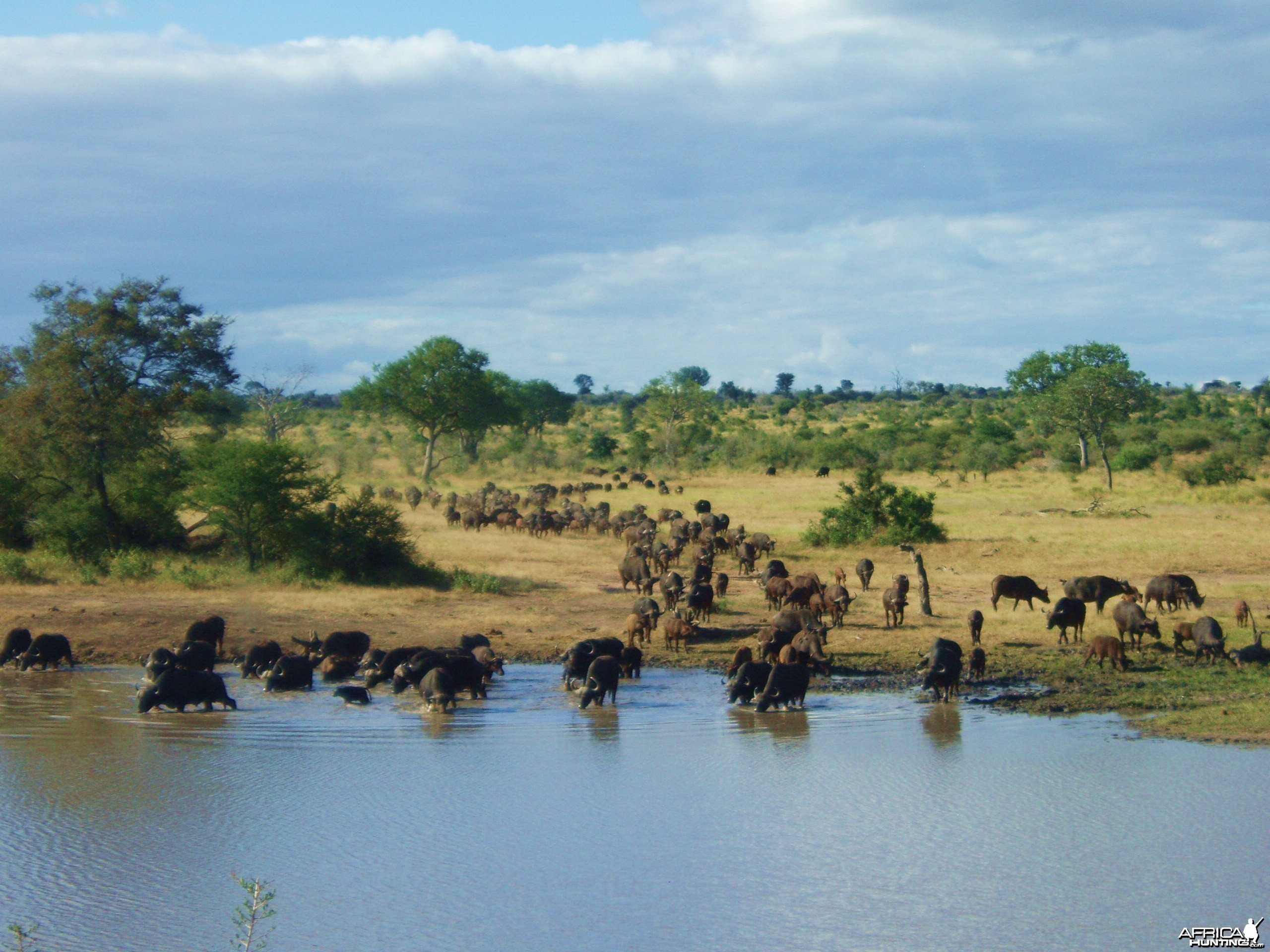 Buffalo at Waterhole