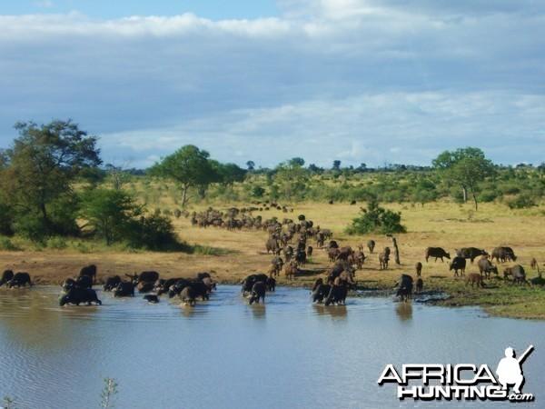 Buffalo at Waterhole