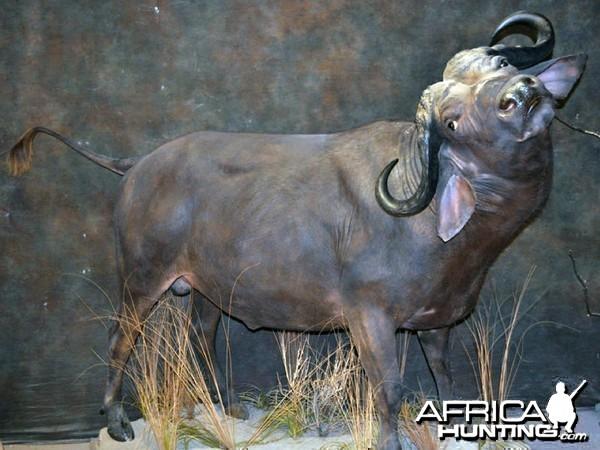buffalo charge taxidermy mount