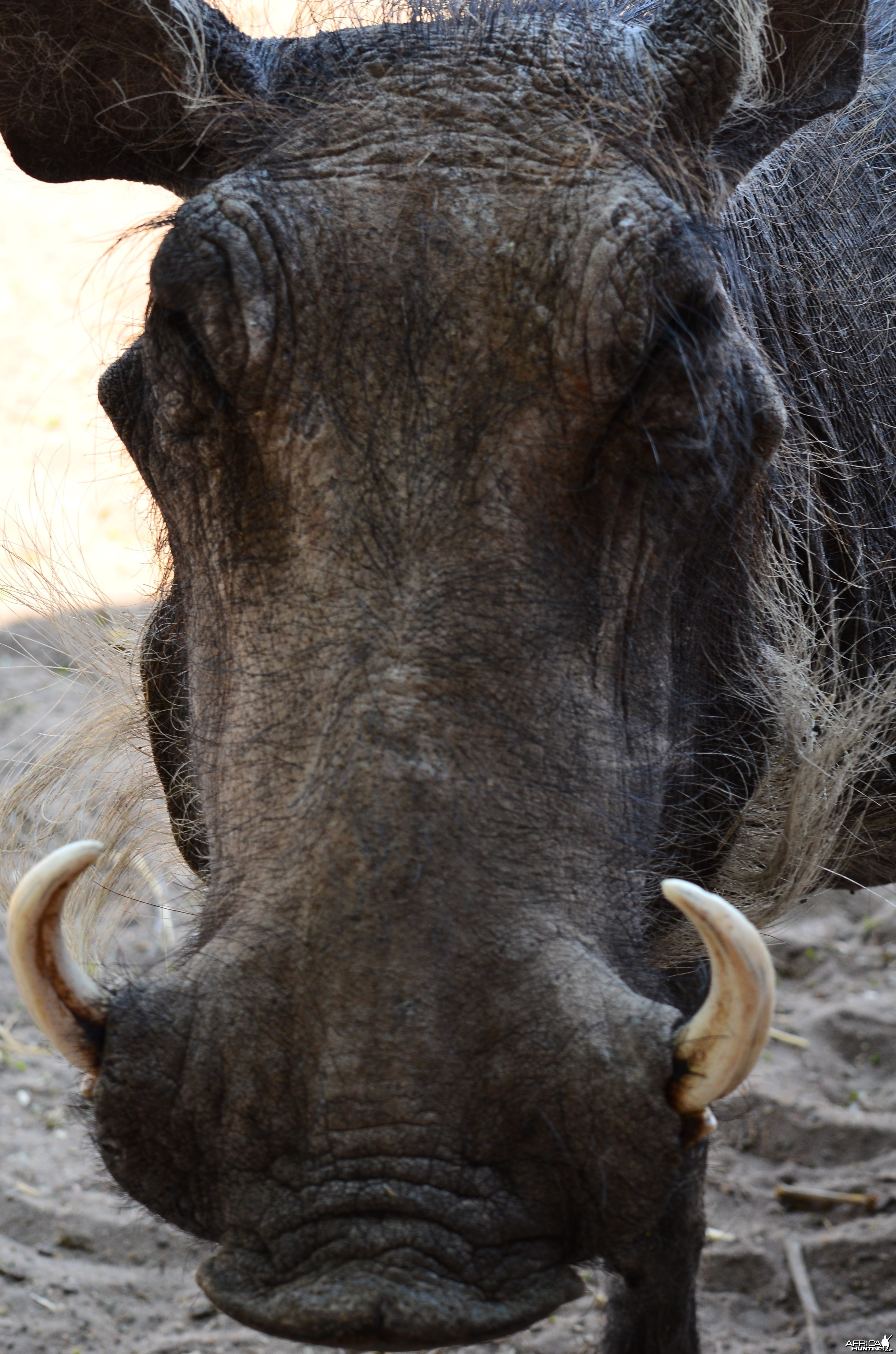 warthog from the hide