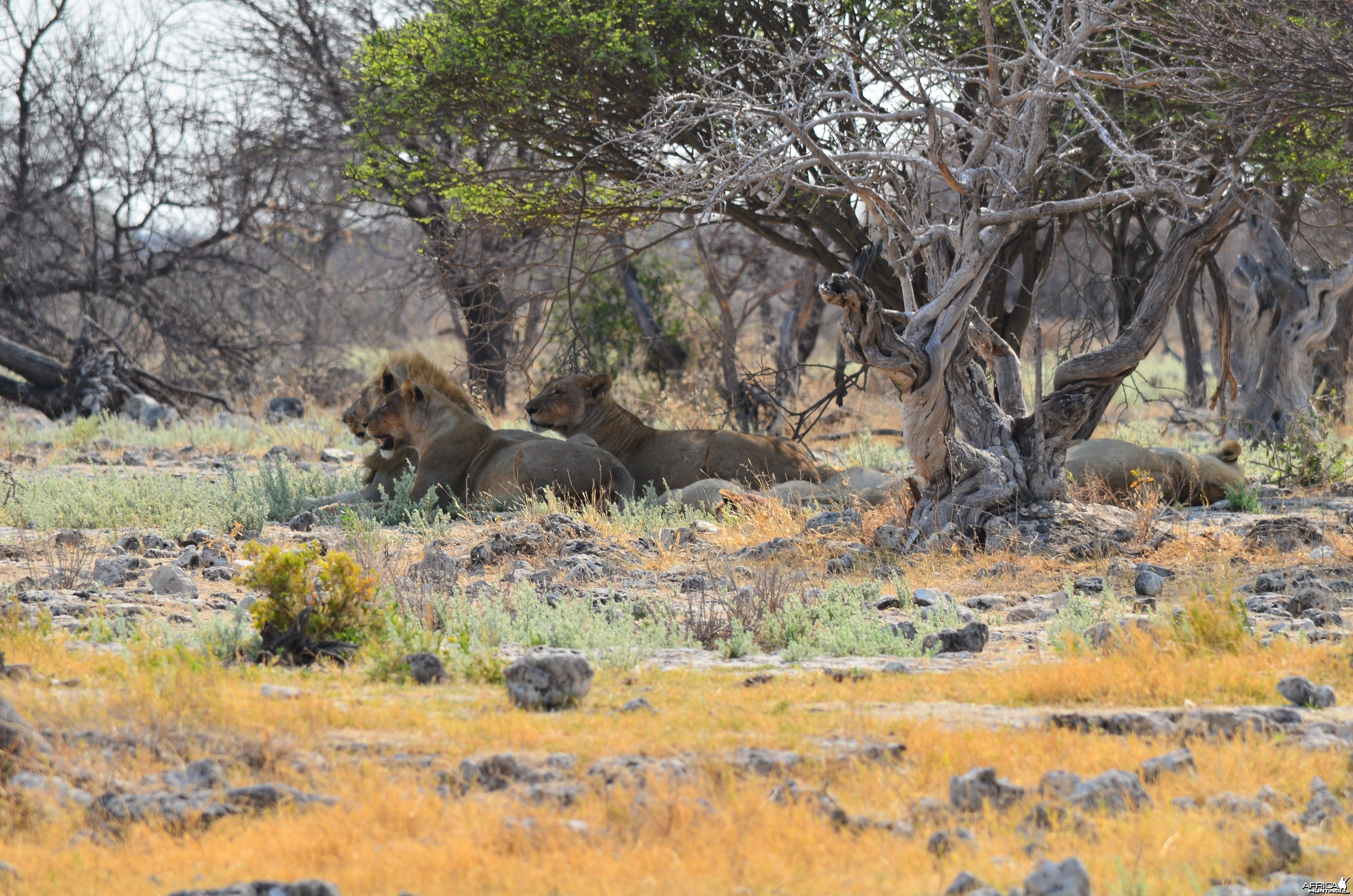 lions post feed at Etosha