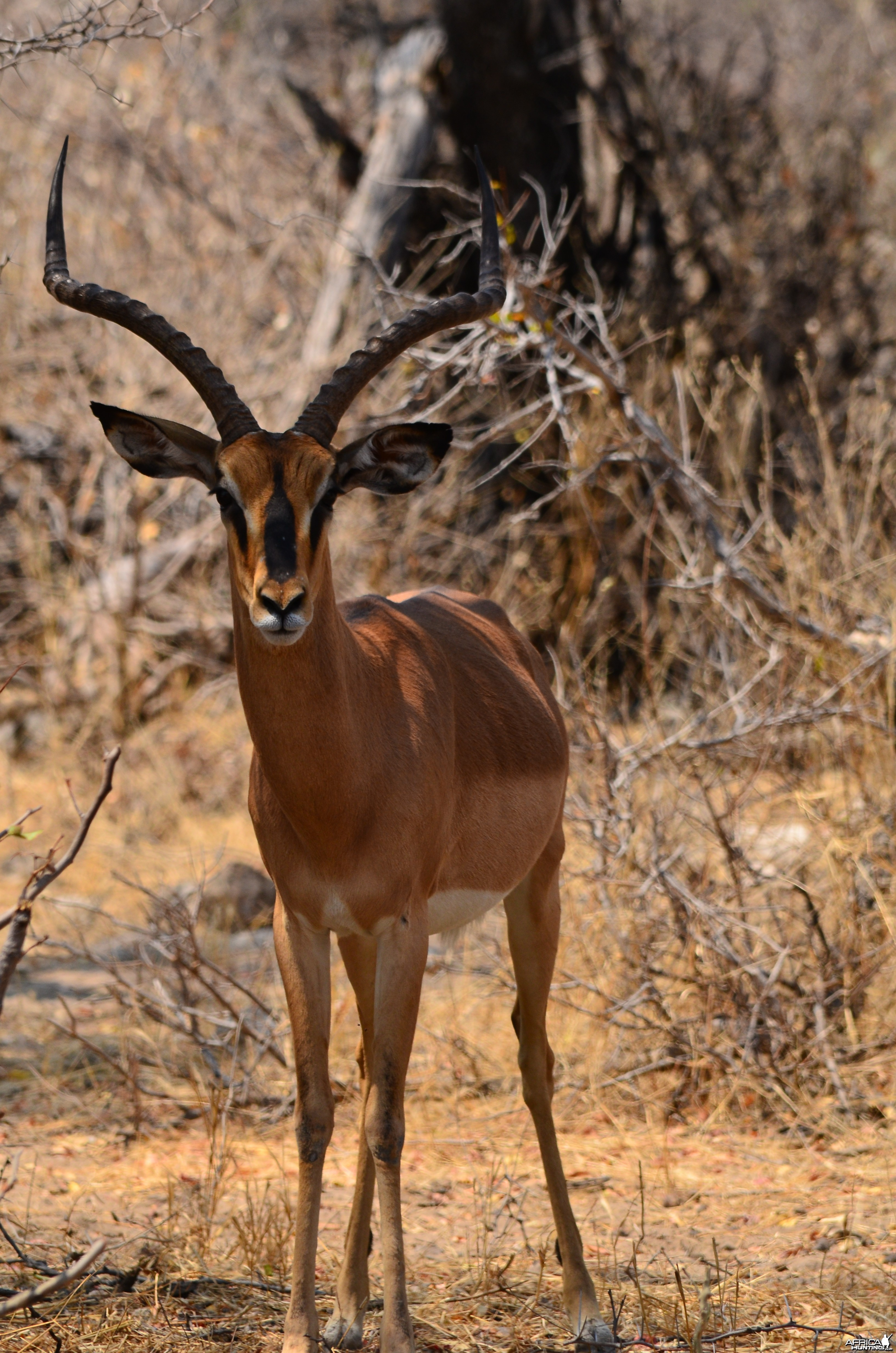 black faced impala Etosha