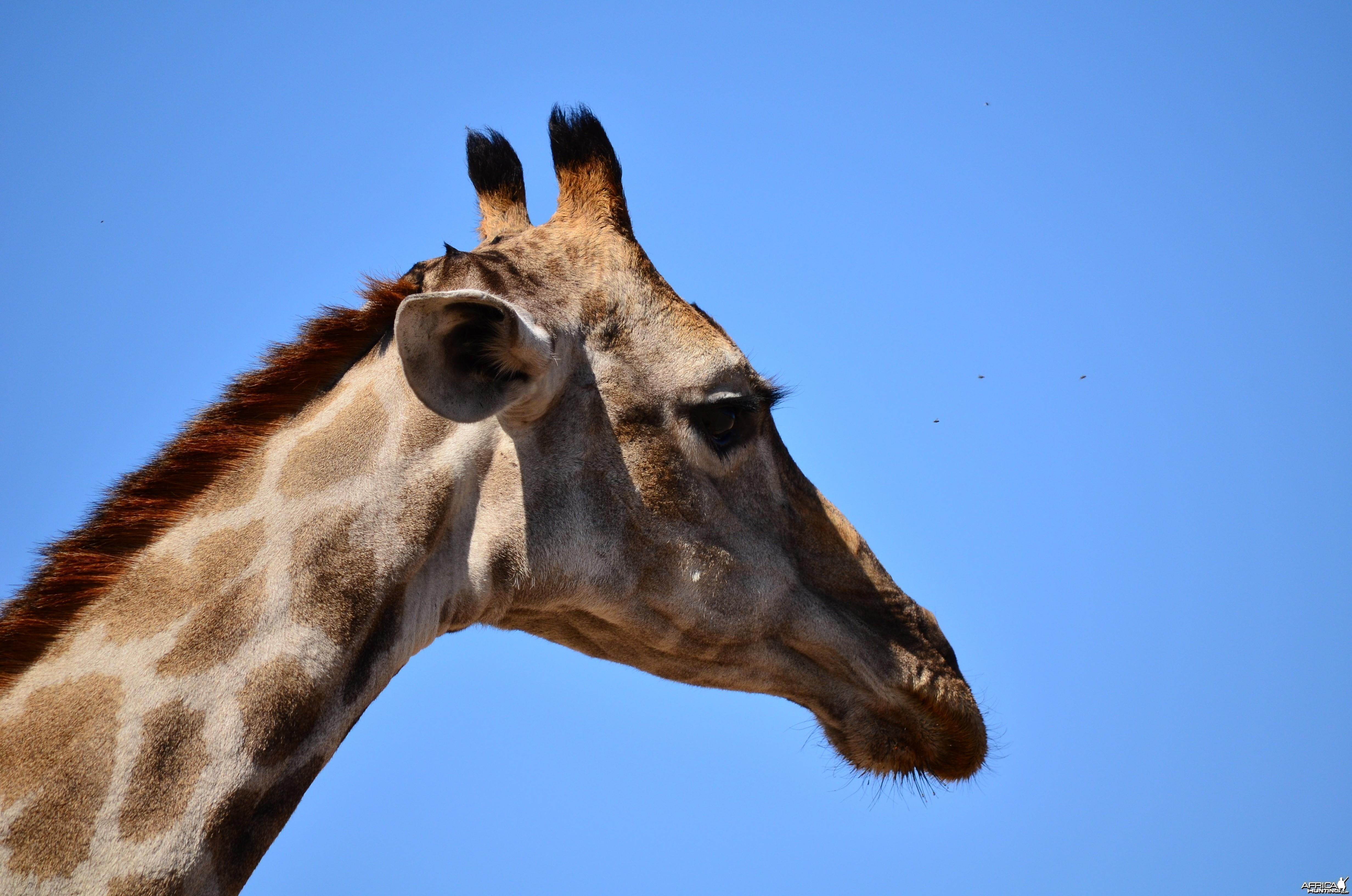 giraffe - Mylpaal