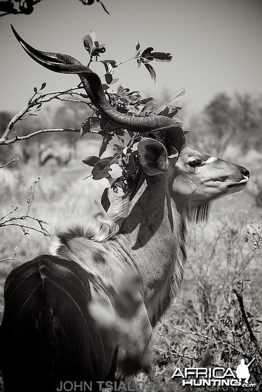kudu, tree