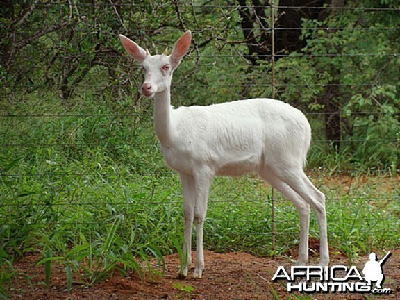 White Reedbuck - South Africa