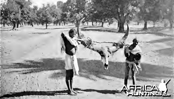 Asian Buffalo horn