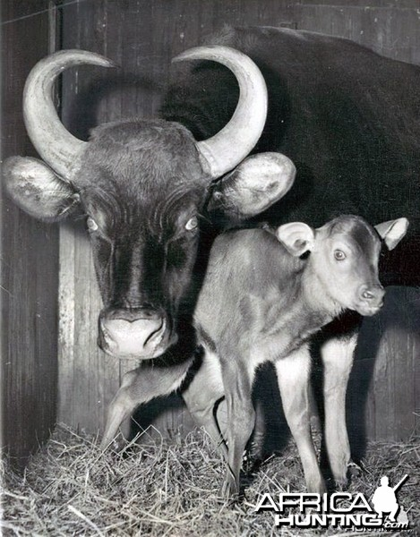 Female and Baby Gaur