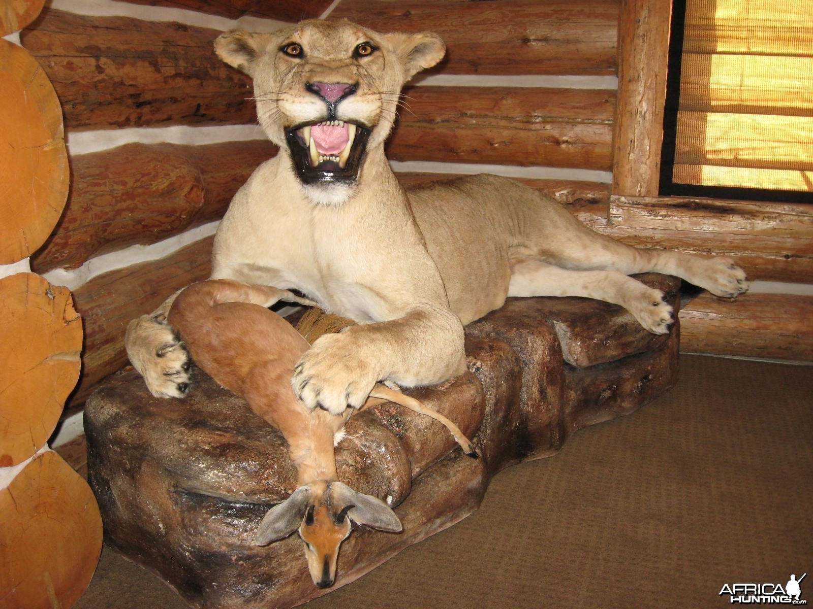 lioness and steenbok in prey scene