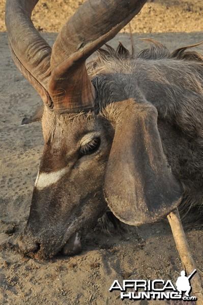 Hunting Greater Kudu in Namibia