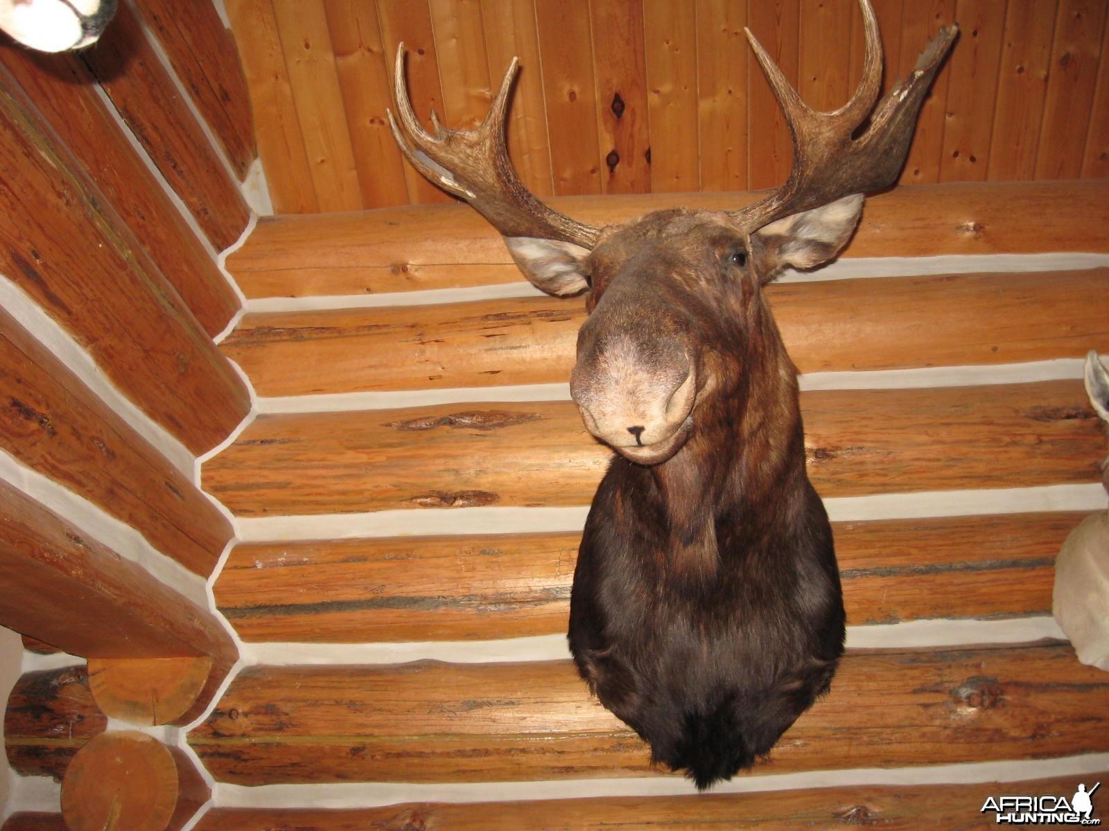 deenas shiras bull moose