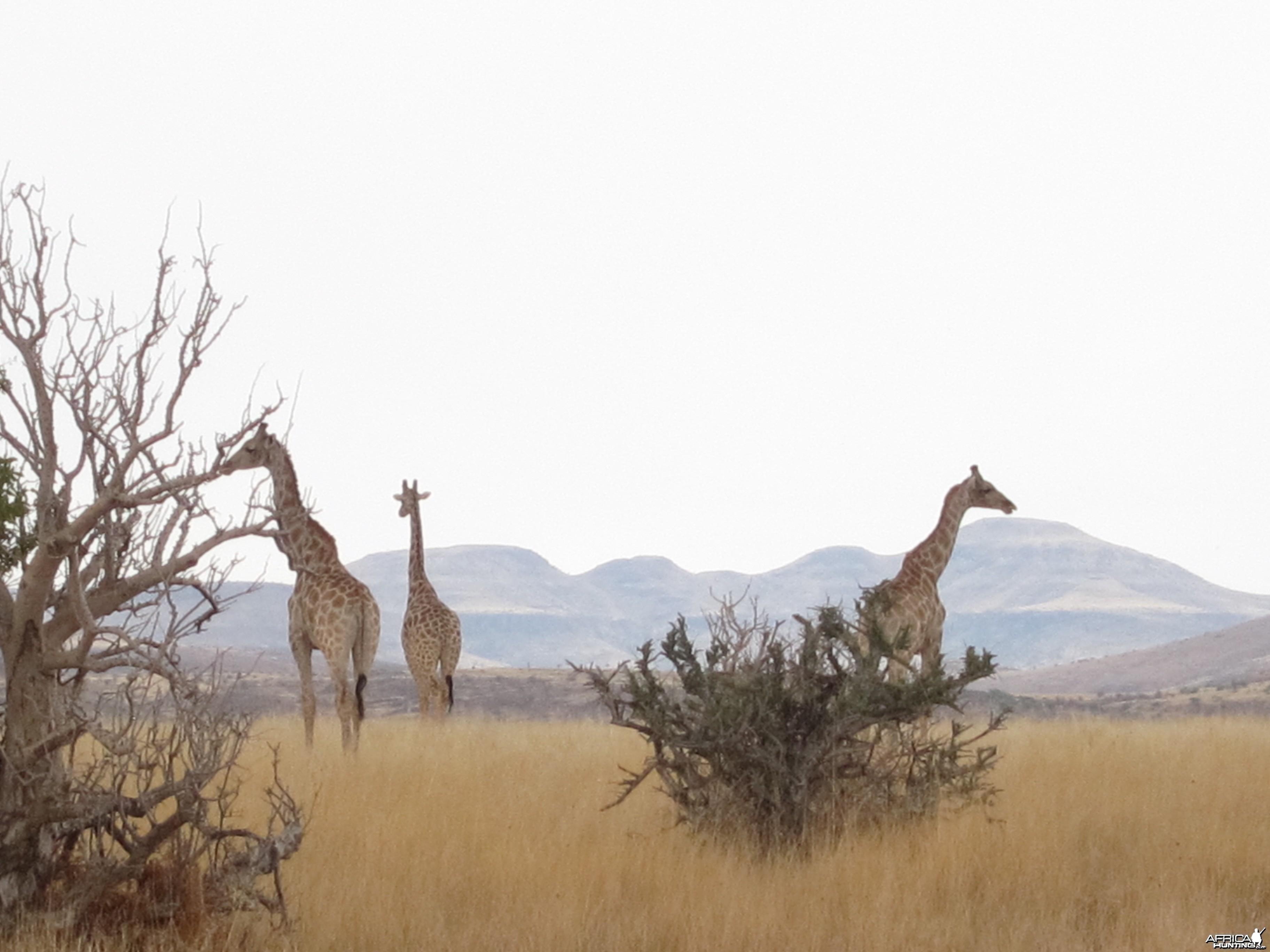 Giraffe Damaraland Namibia