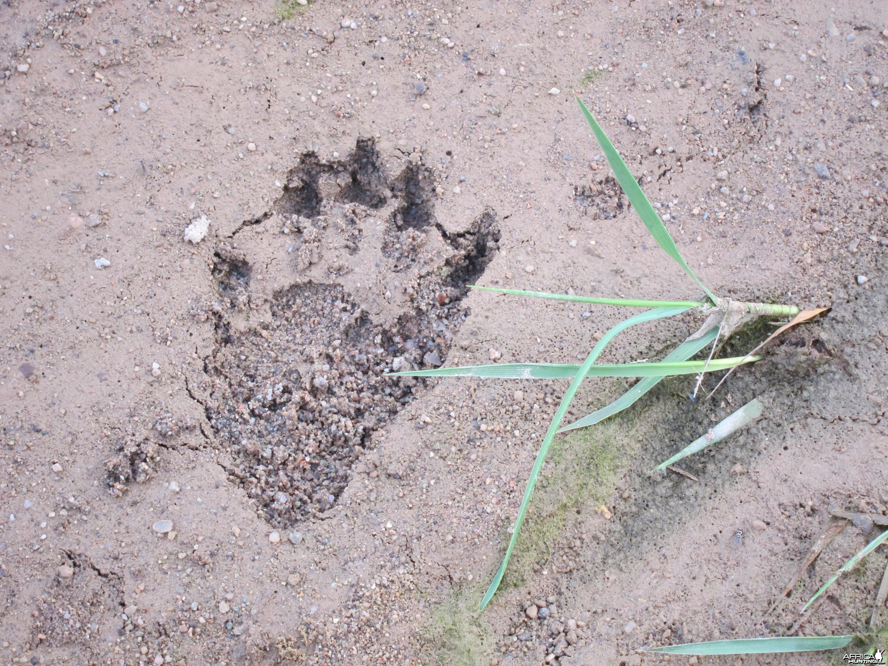 Baboon Track Damaraland Namibia