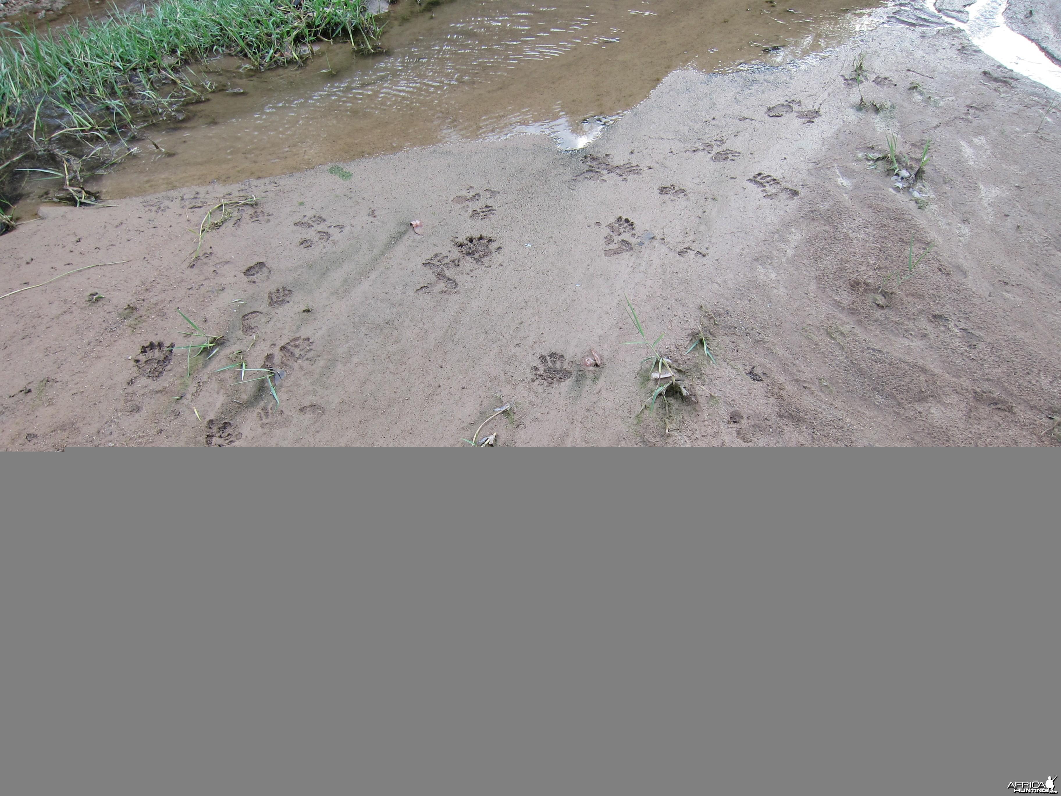 Baboon Tracks Damaraland Namibia
