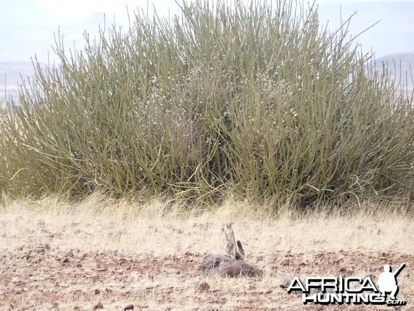 Ground Squirrel Damaraland Namibia