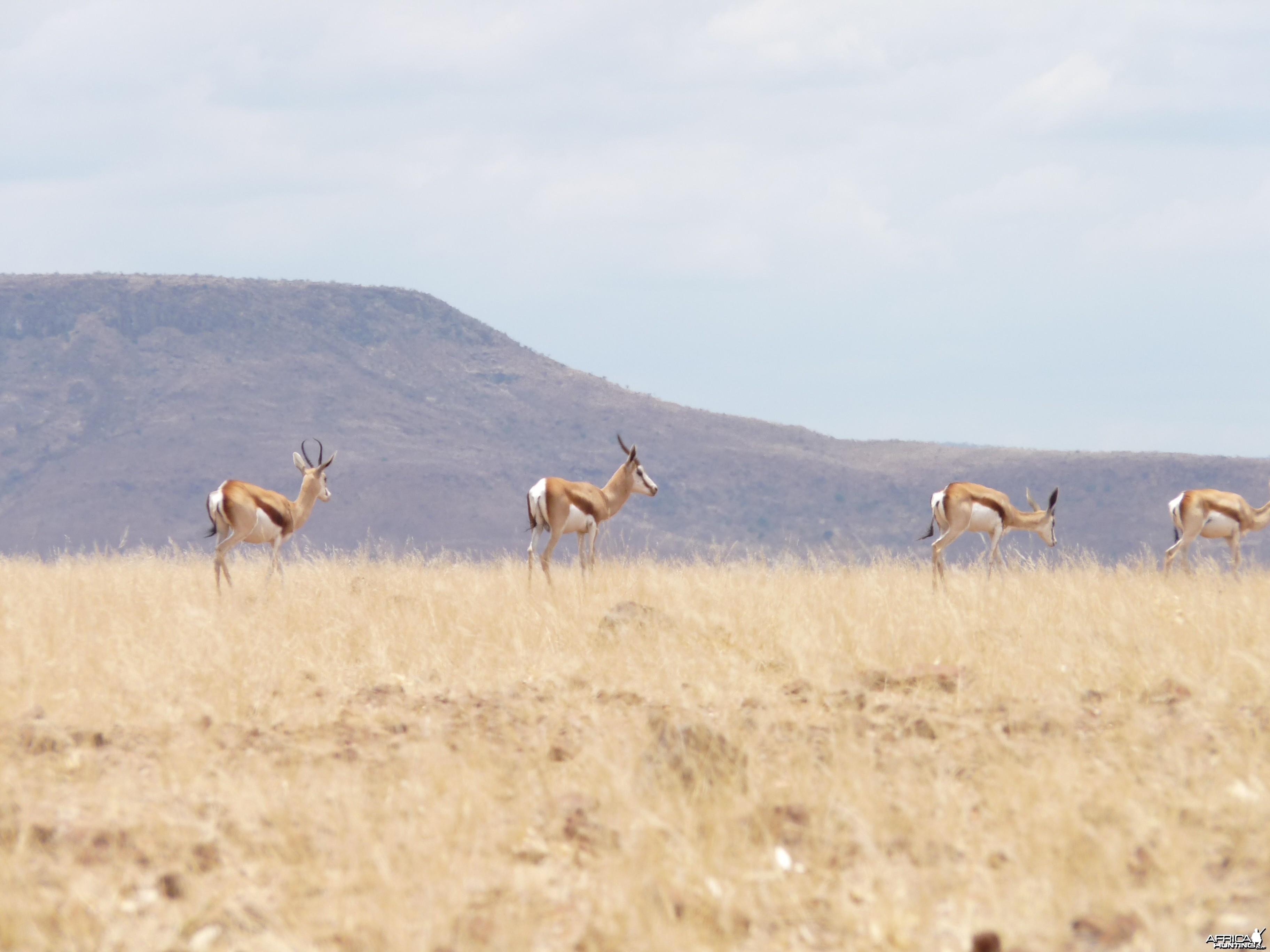 Springbok Damaraland Namibia