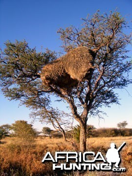 Giant Community Weaver Bird Nest in Namibia