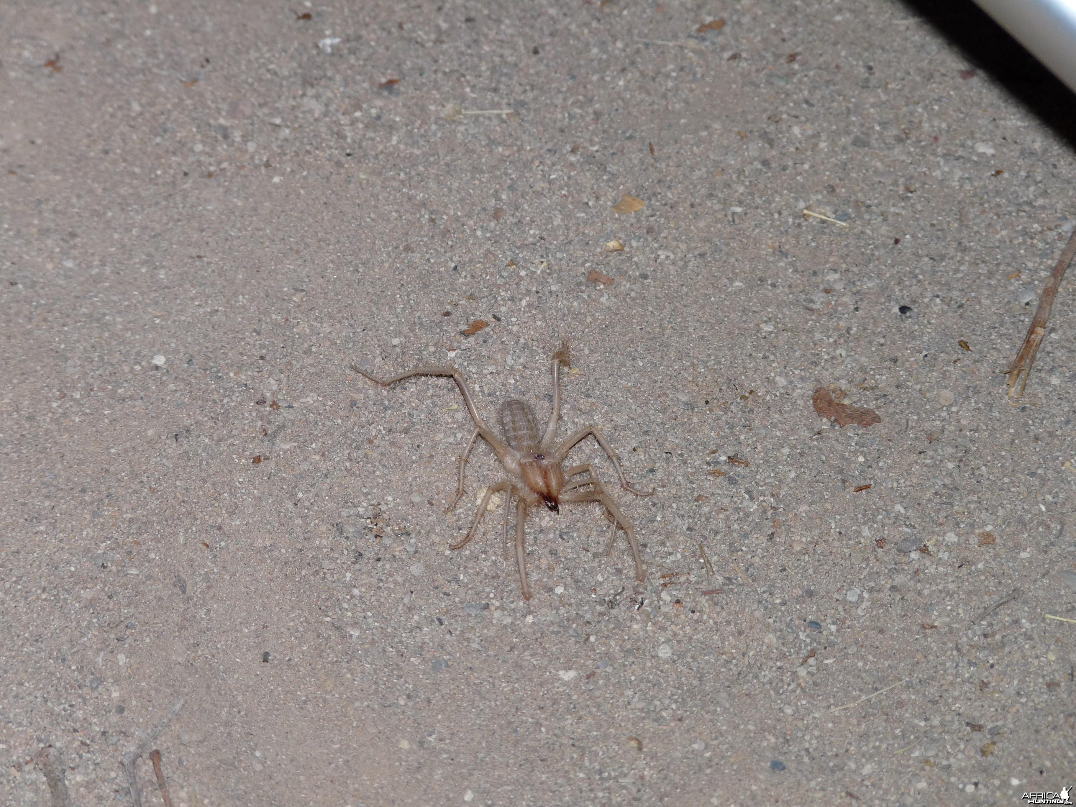 Camel Spider Damaraland Namibia