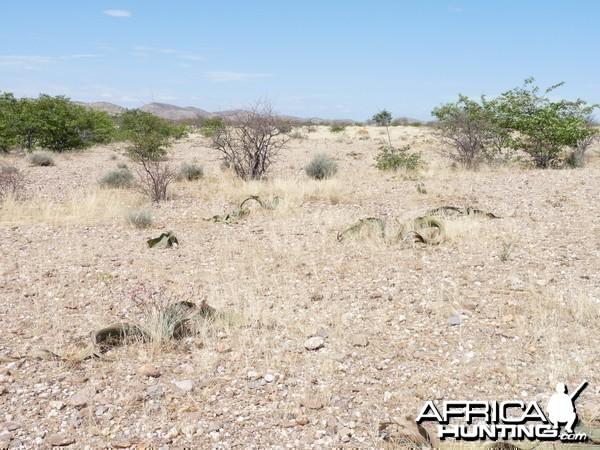 Welwitschia Damaraland Namibia