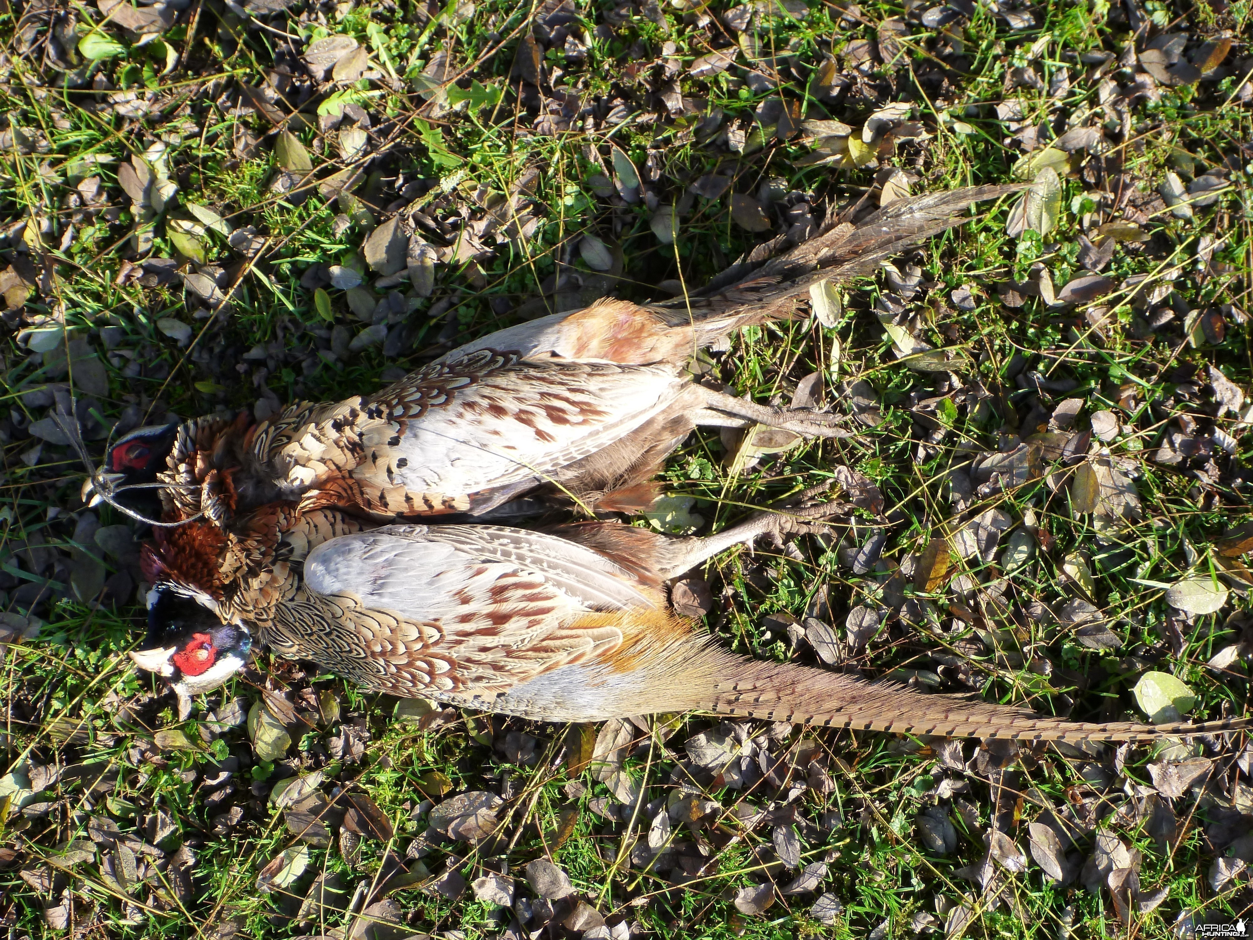 Pheasant Hunting in France