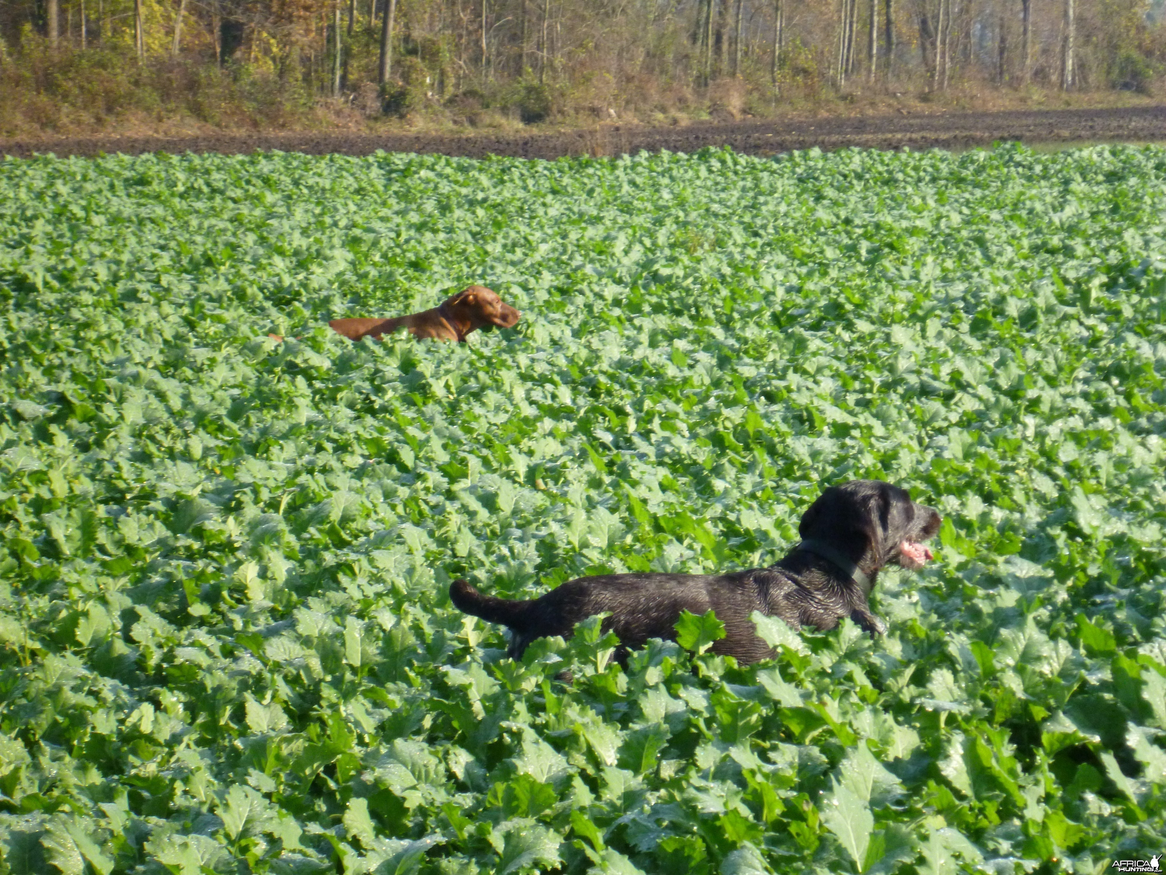 Vizslaand Drahthaar Hunting in France