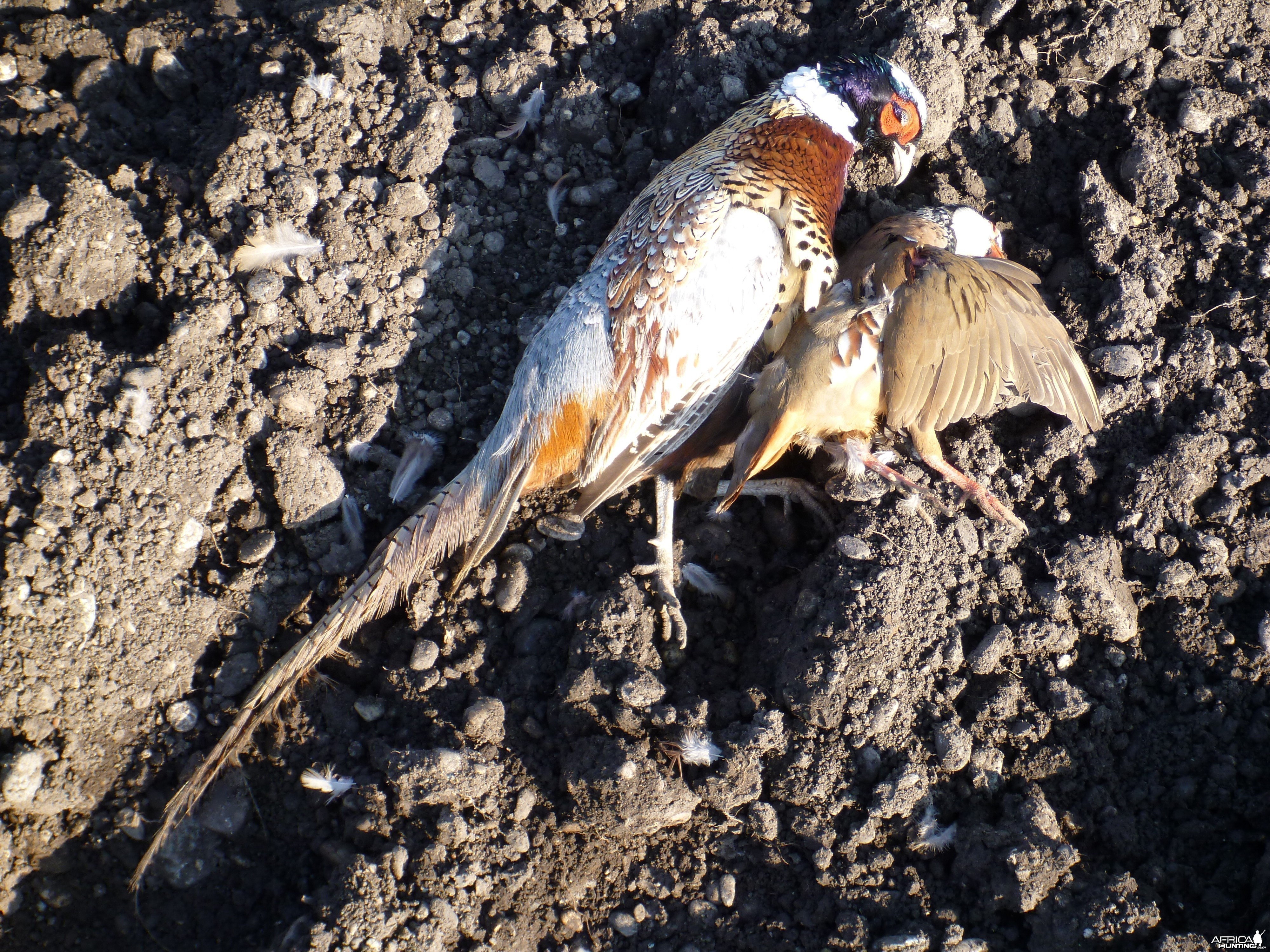 Pheasant and Partridge Hunting in France