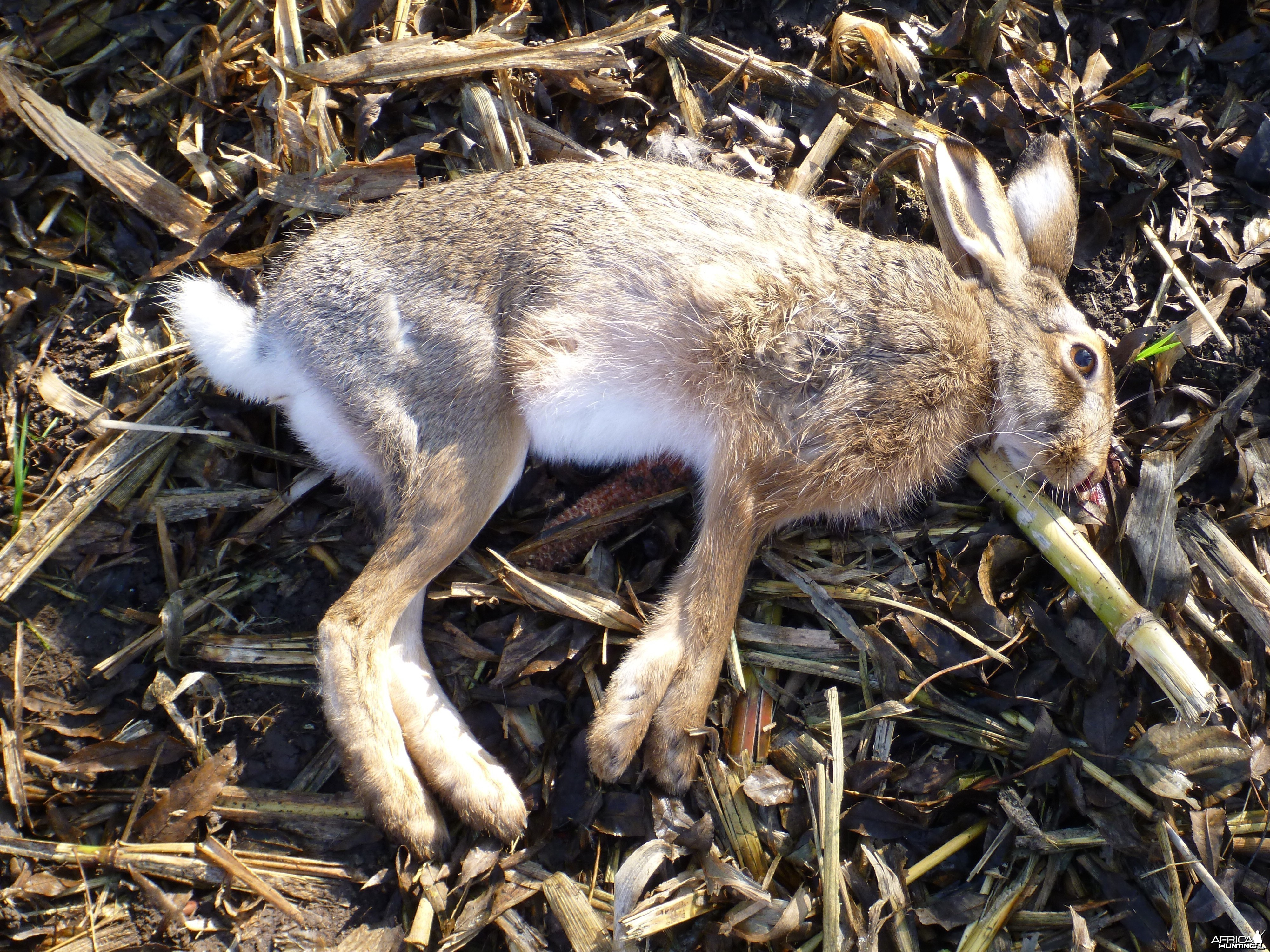 Hare Hunting in France