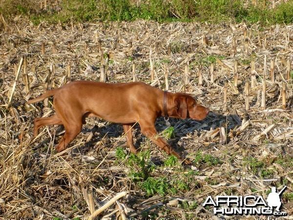 Vizsla Hunting in France