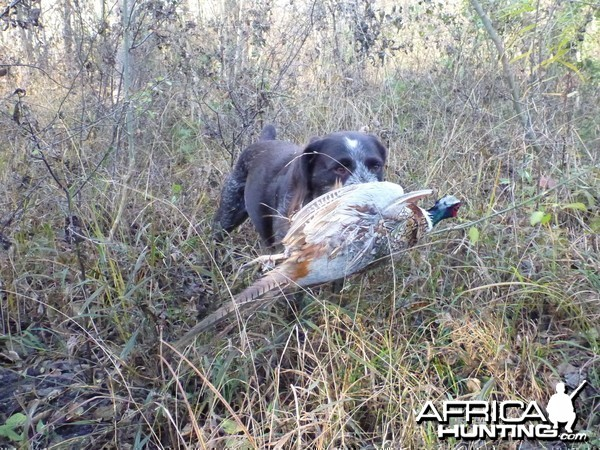 Drahthaar Hunting in France