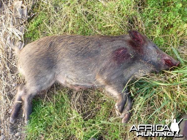 Wild Boar Hunting in France