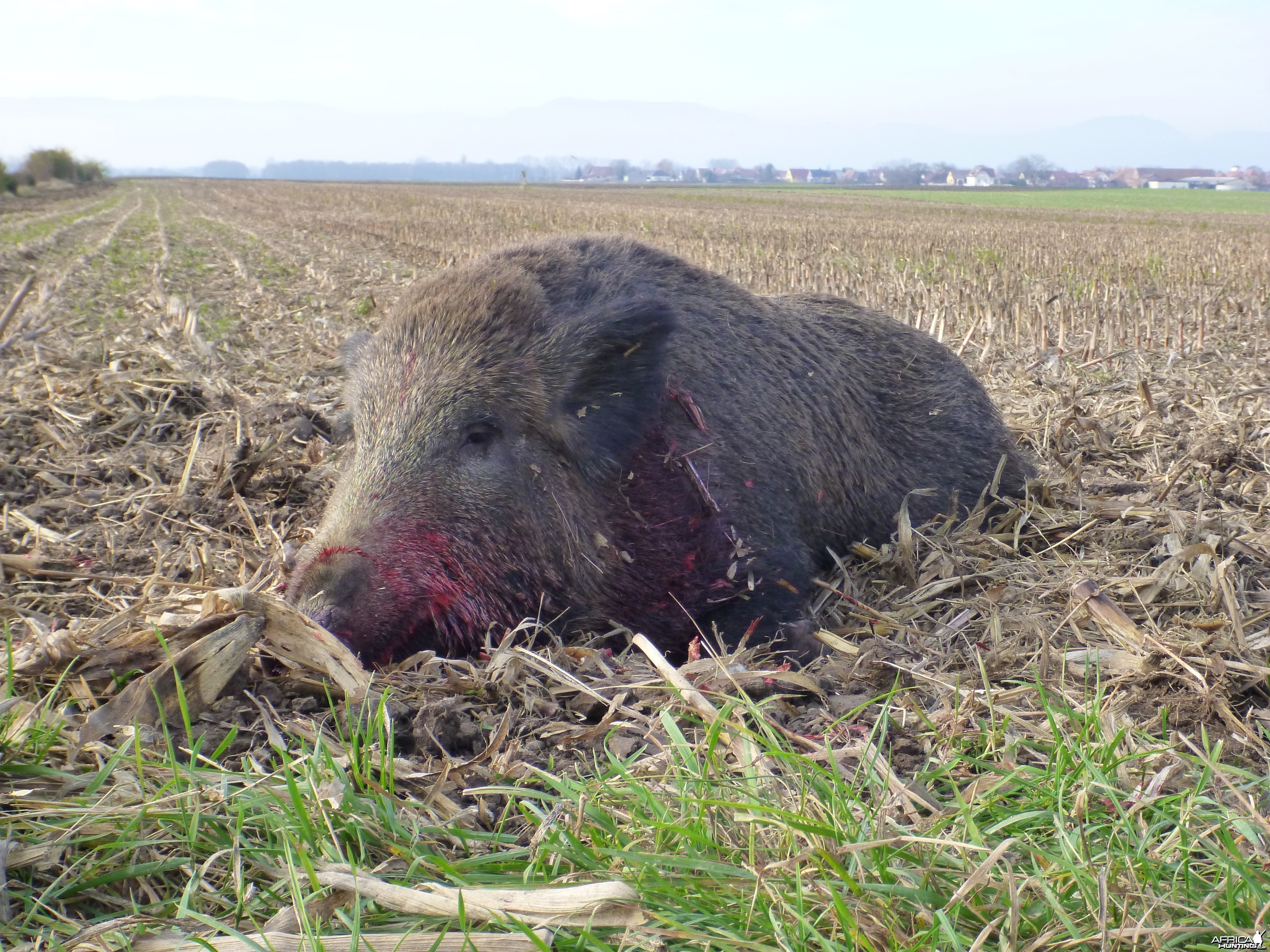 Wild Boar Hunting in France