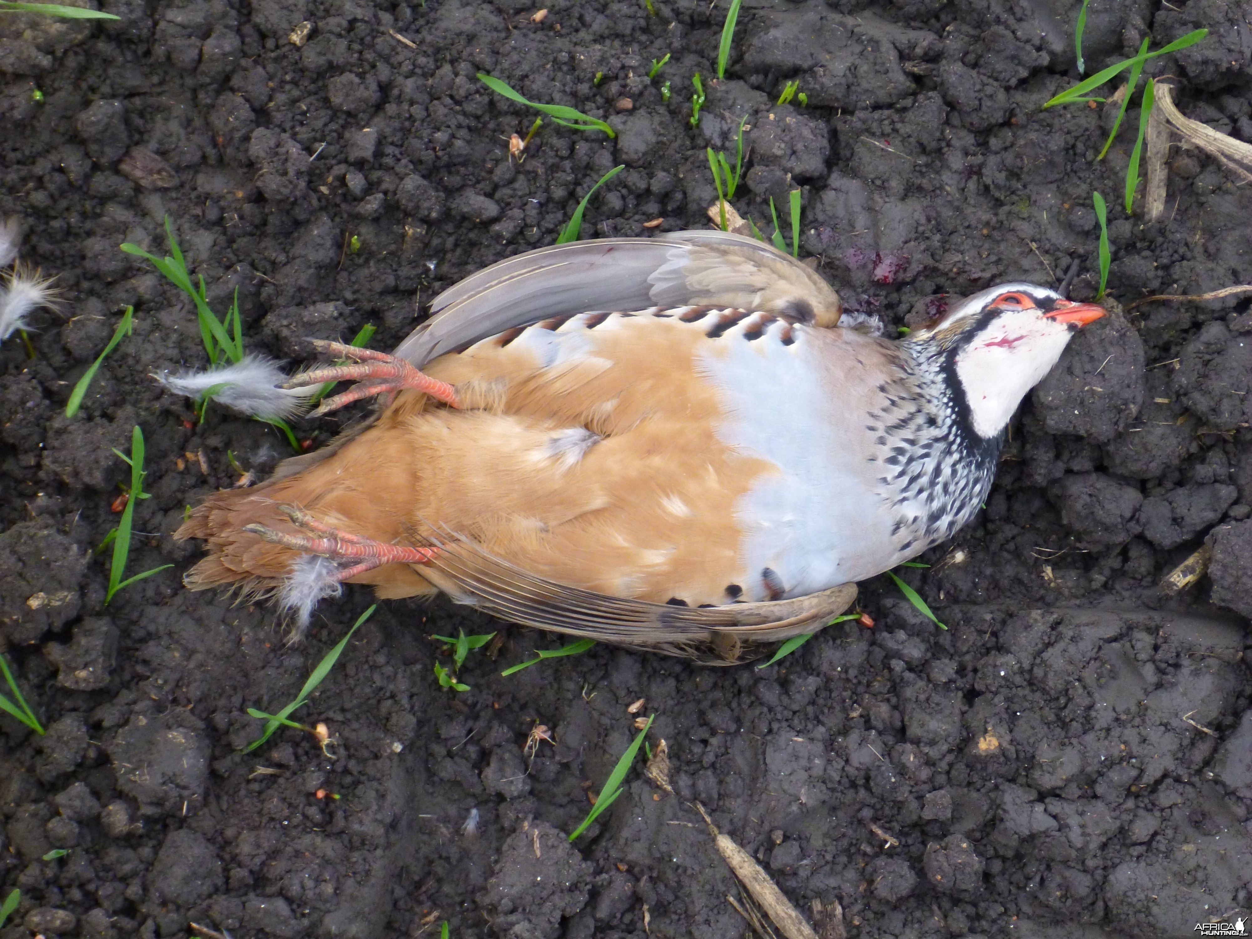 Partridge Hunting in France
