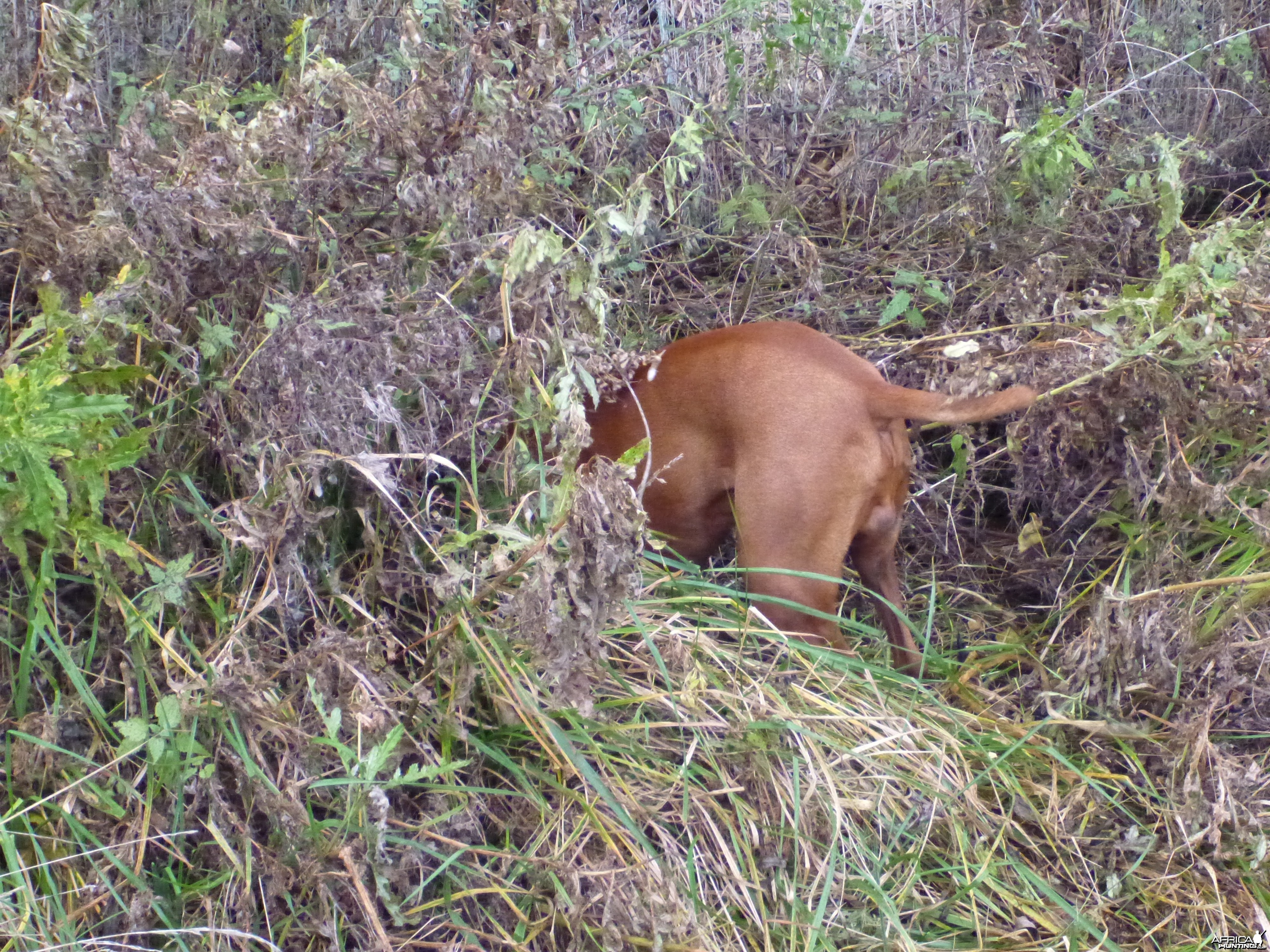 Vizsla Hunting in France