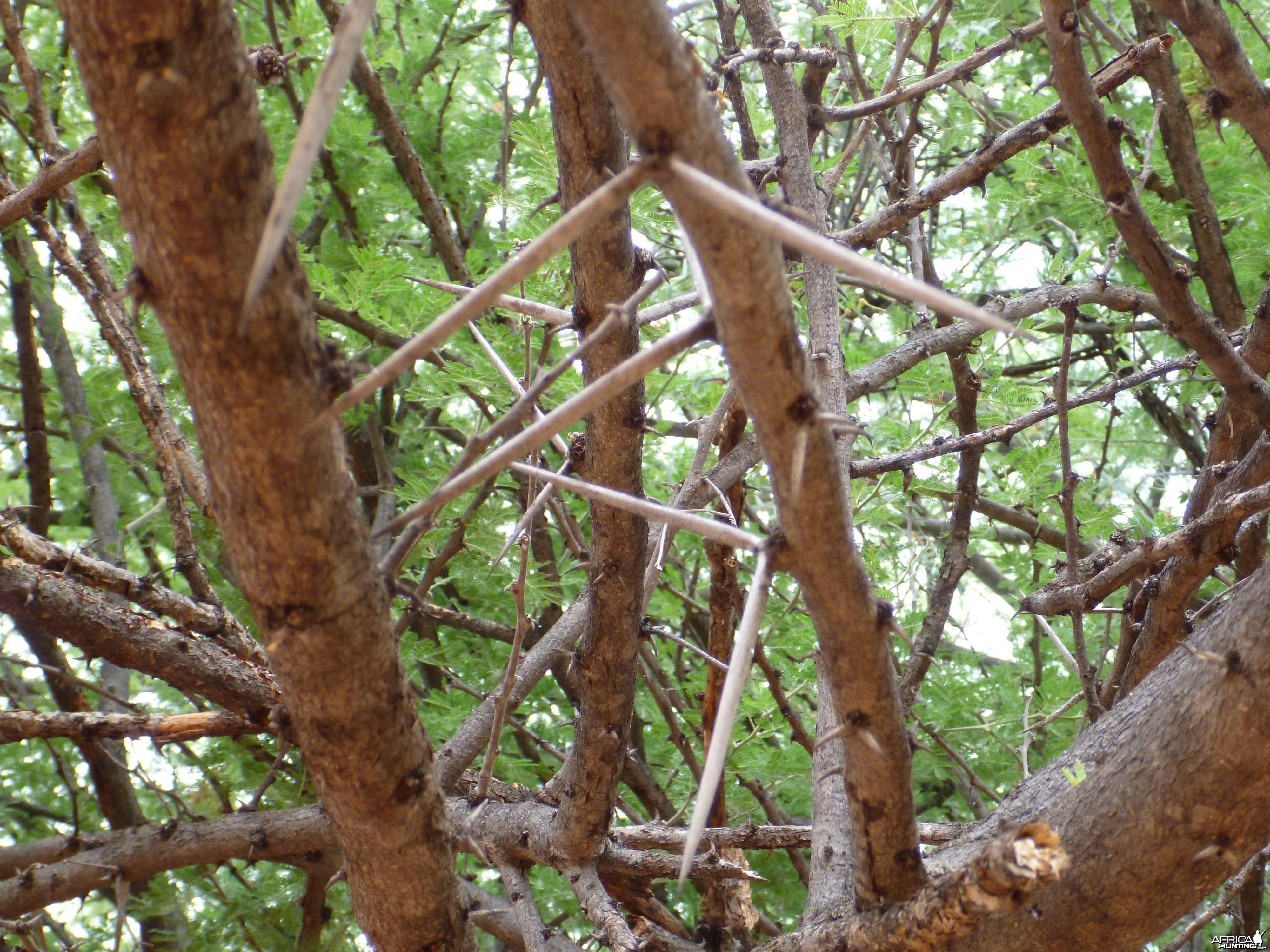 Thorns Namibia
