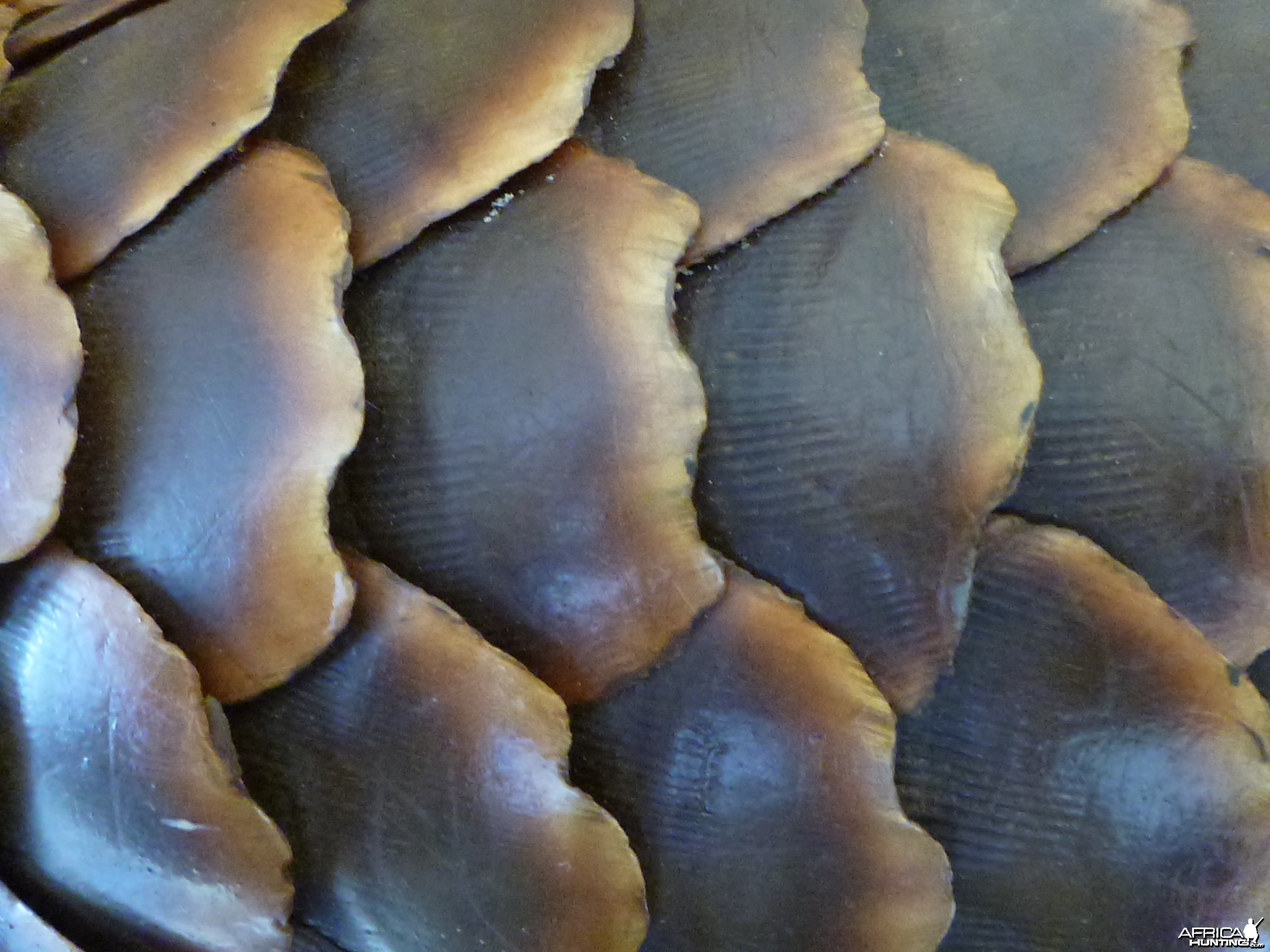 Giant Pangolin Scales Namibia
