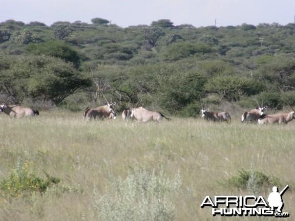 Namibia Gemsbok