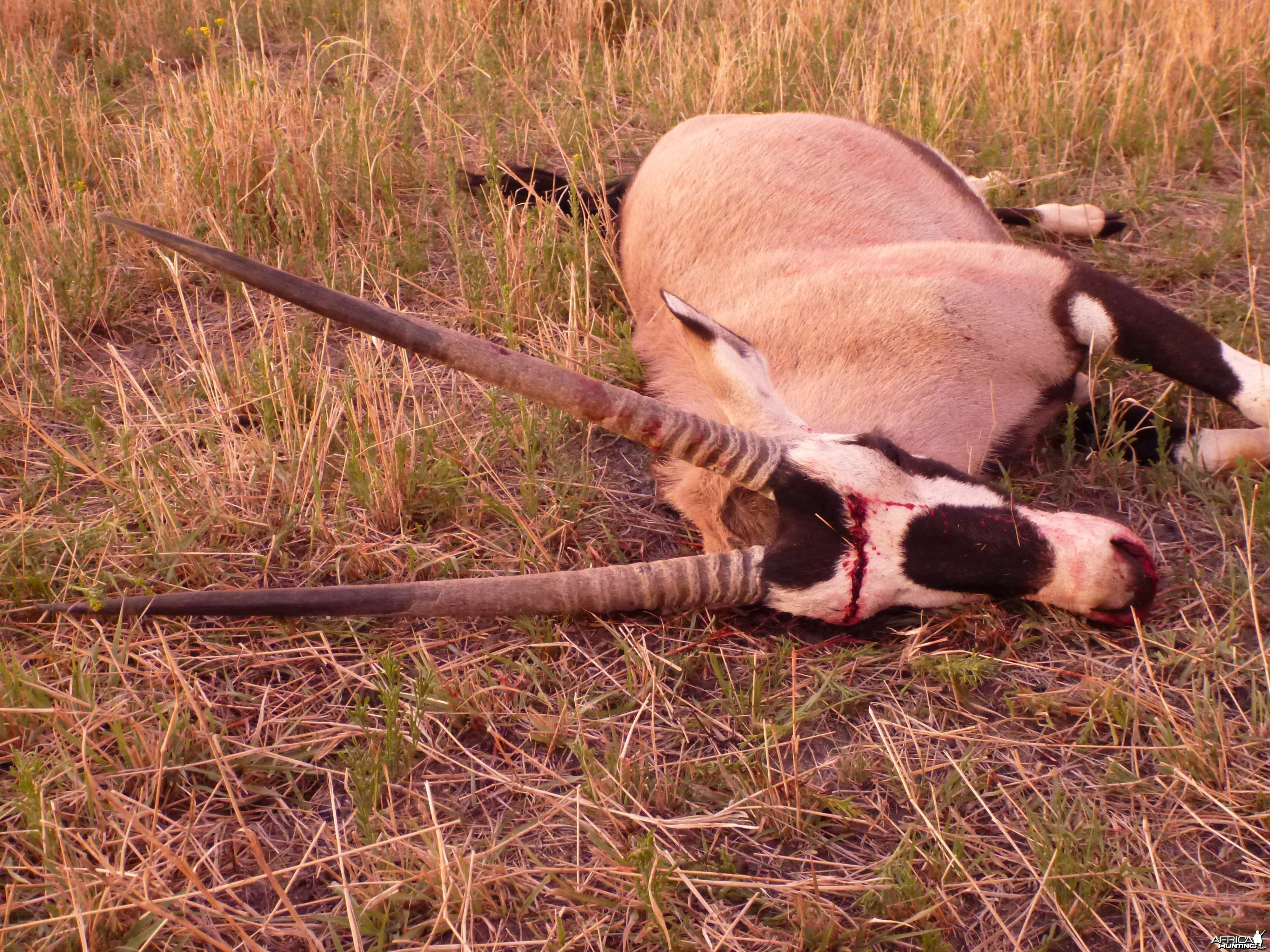 Cull Gemsbok Namibia