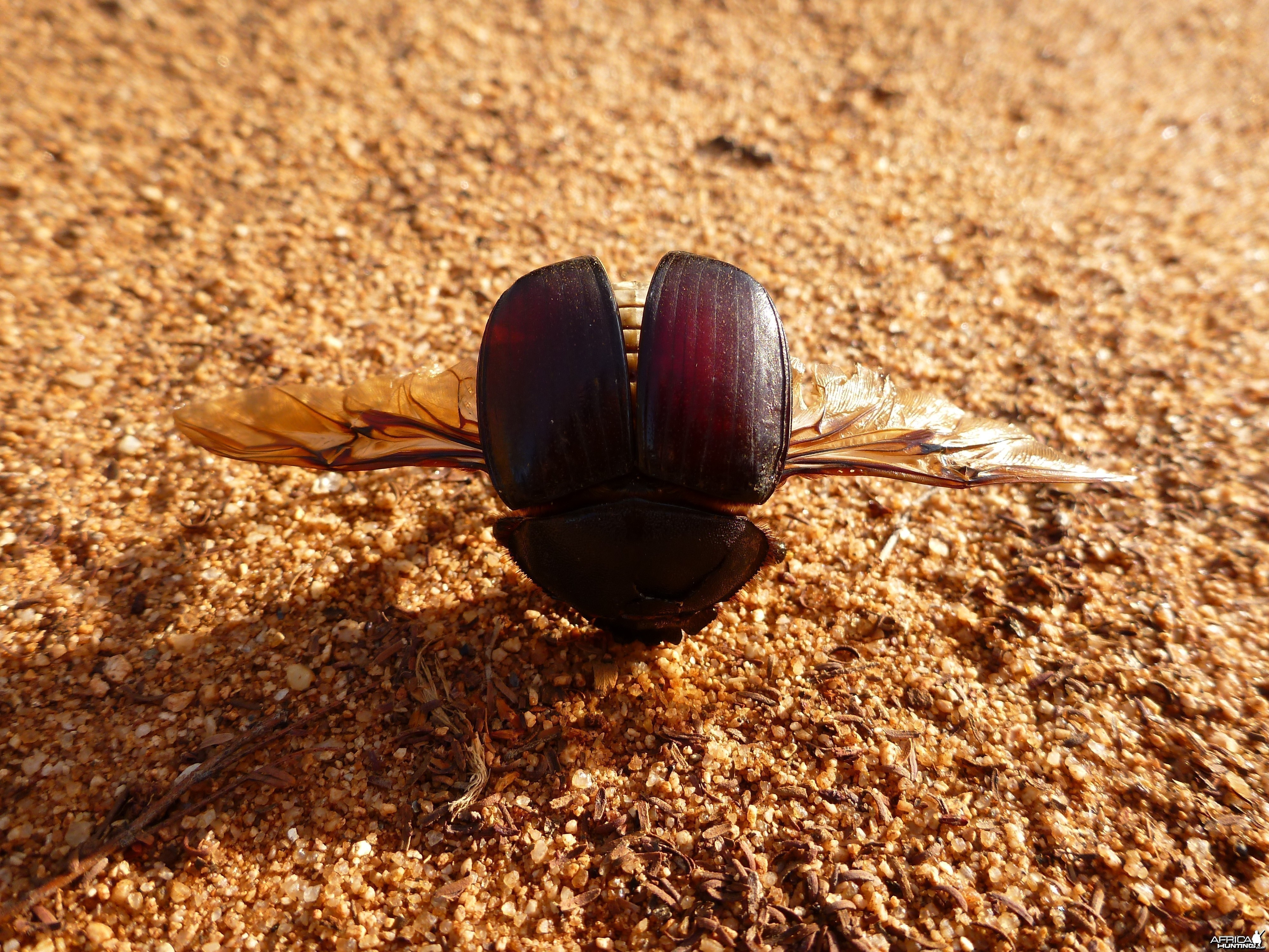 Beetle Namibia