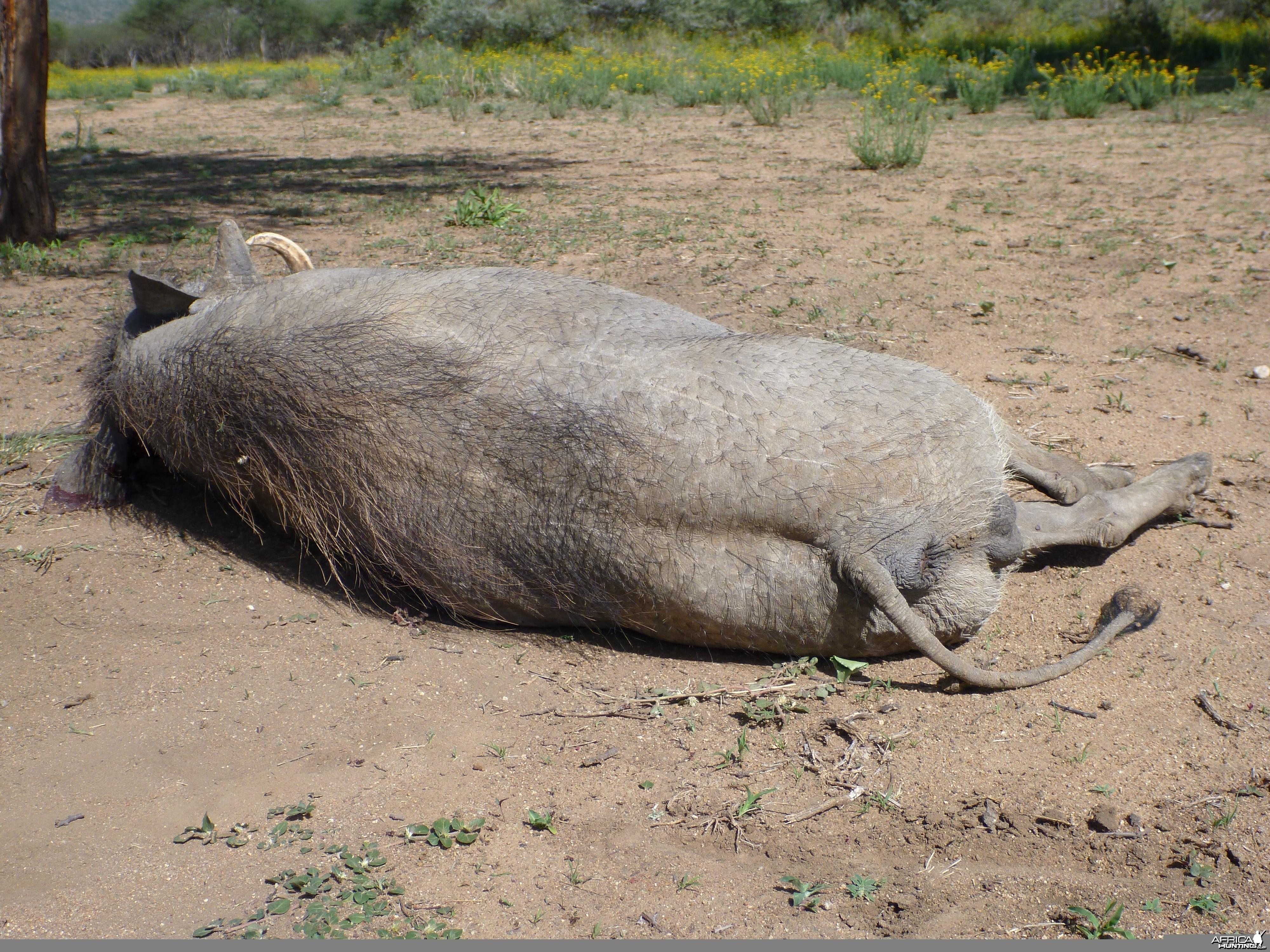Cull Warthog Namibia