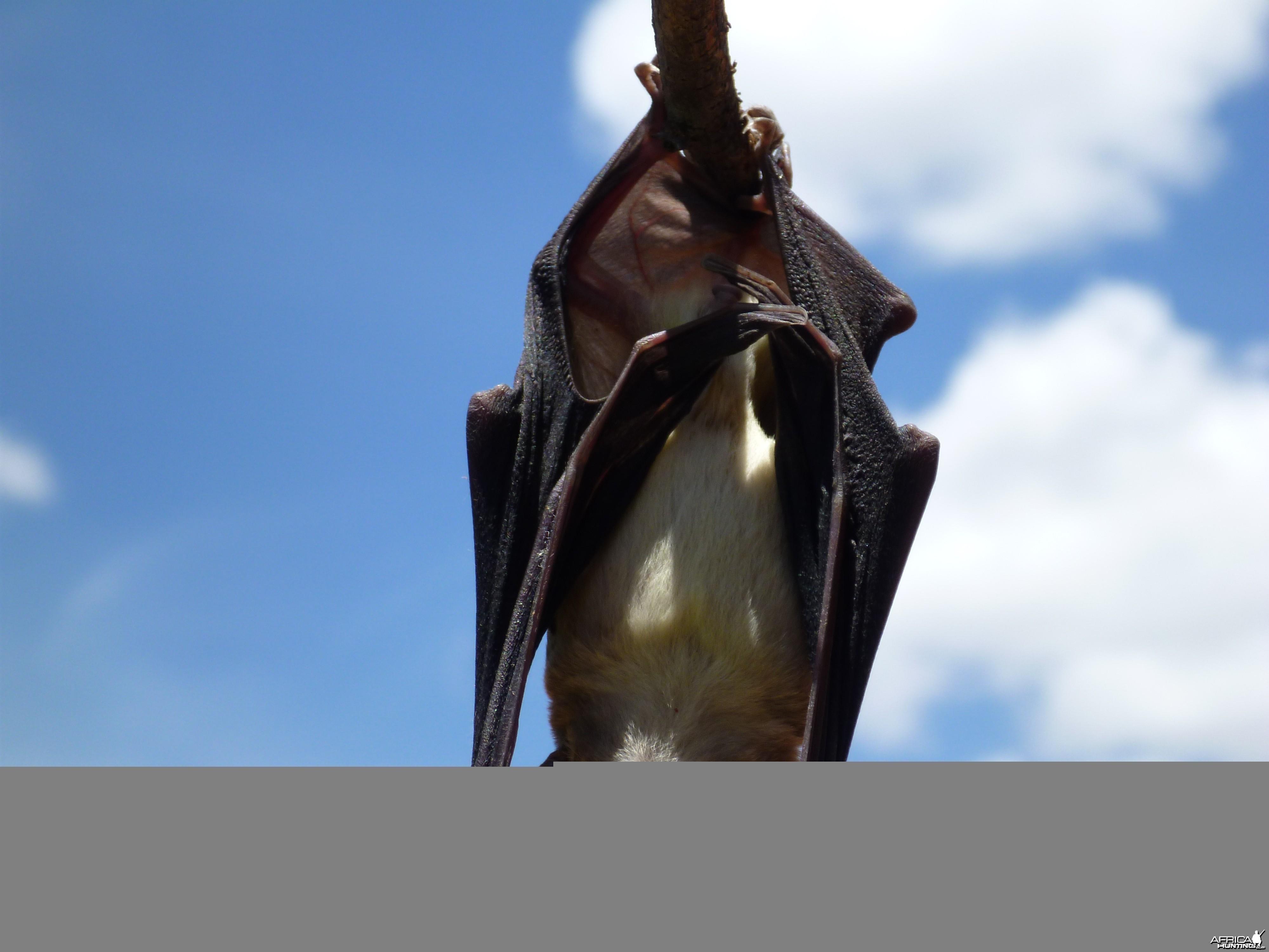 Bat Namibia