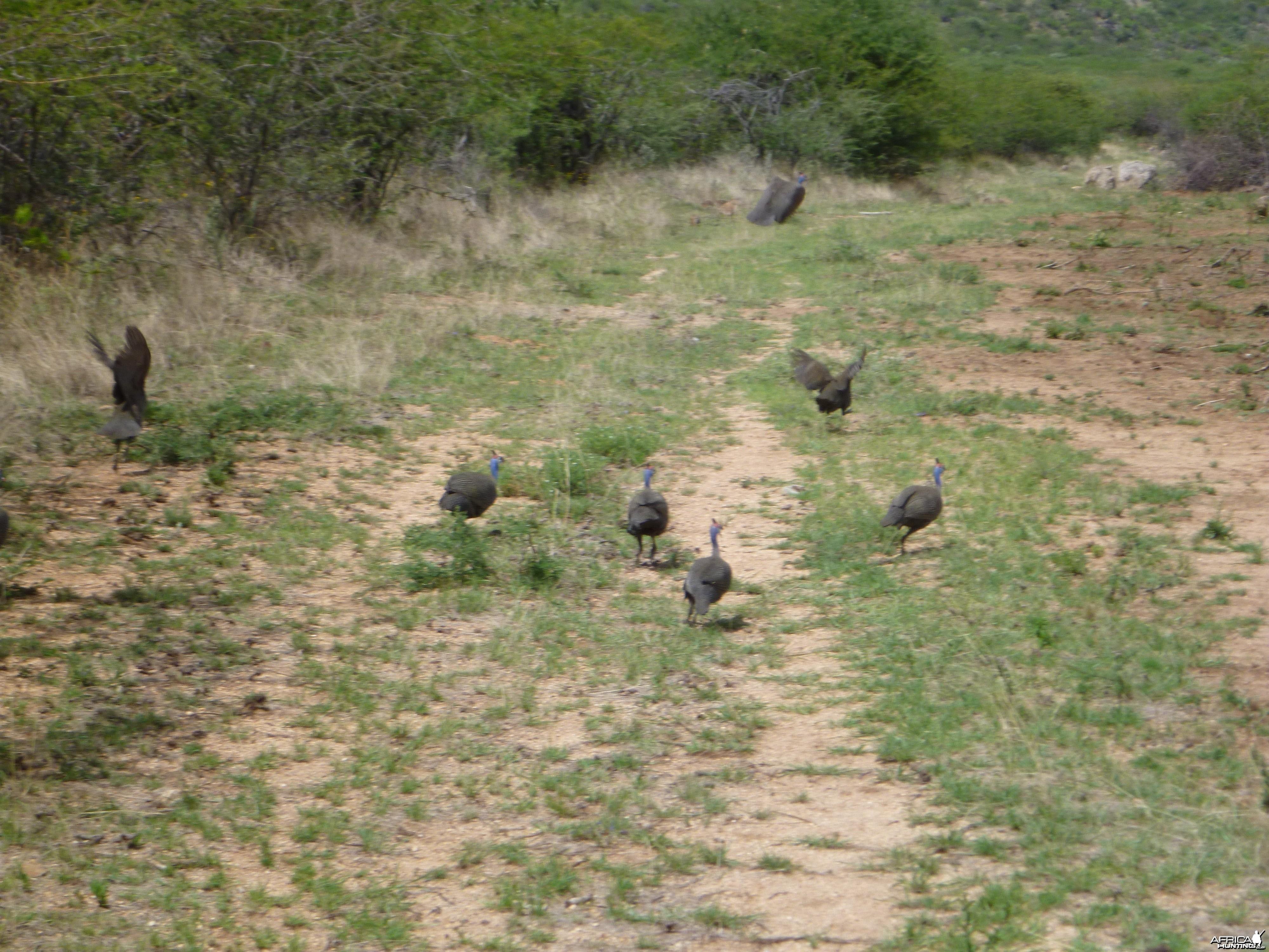 Guineafowls Namibia