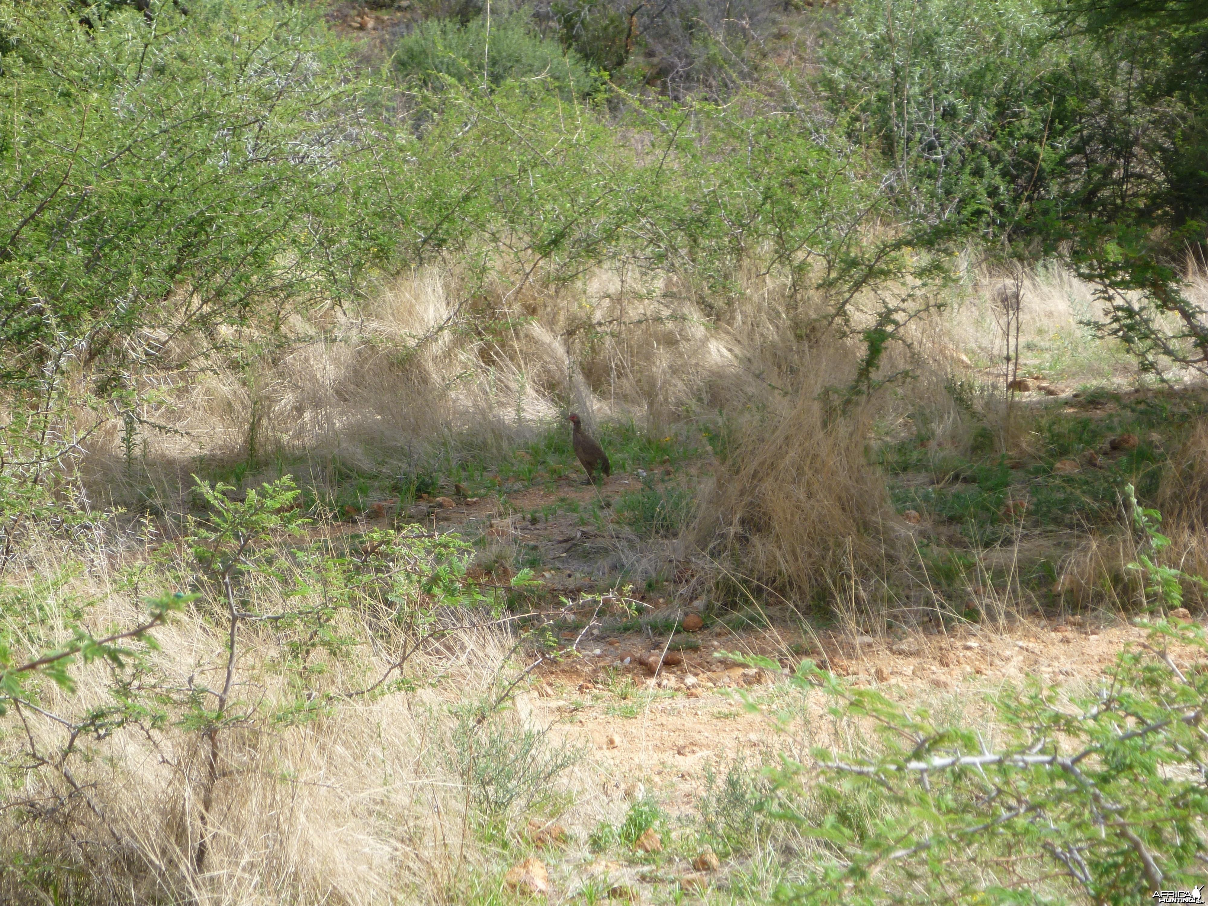 Swainson Partridge Namibia