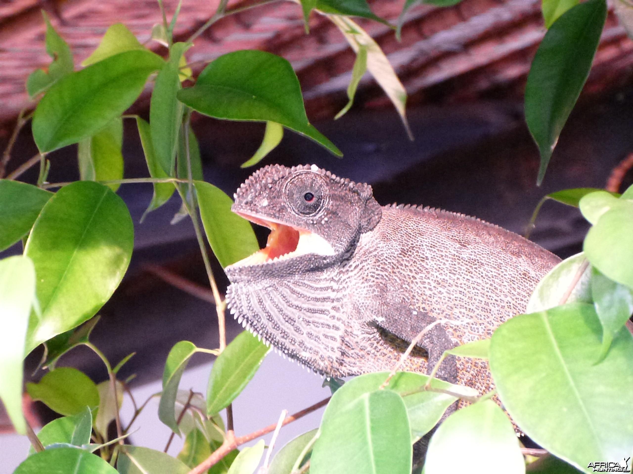 Chameleon Namibia