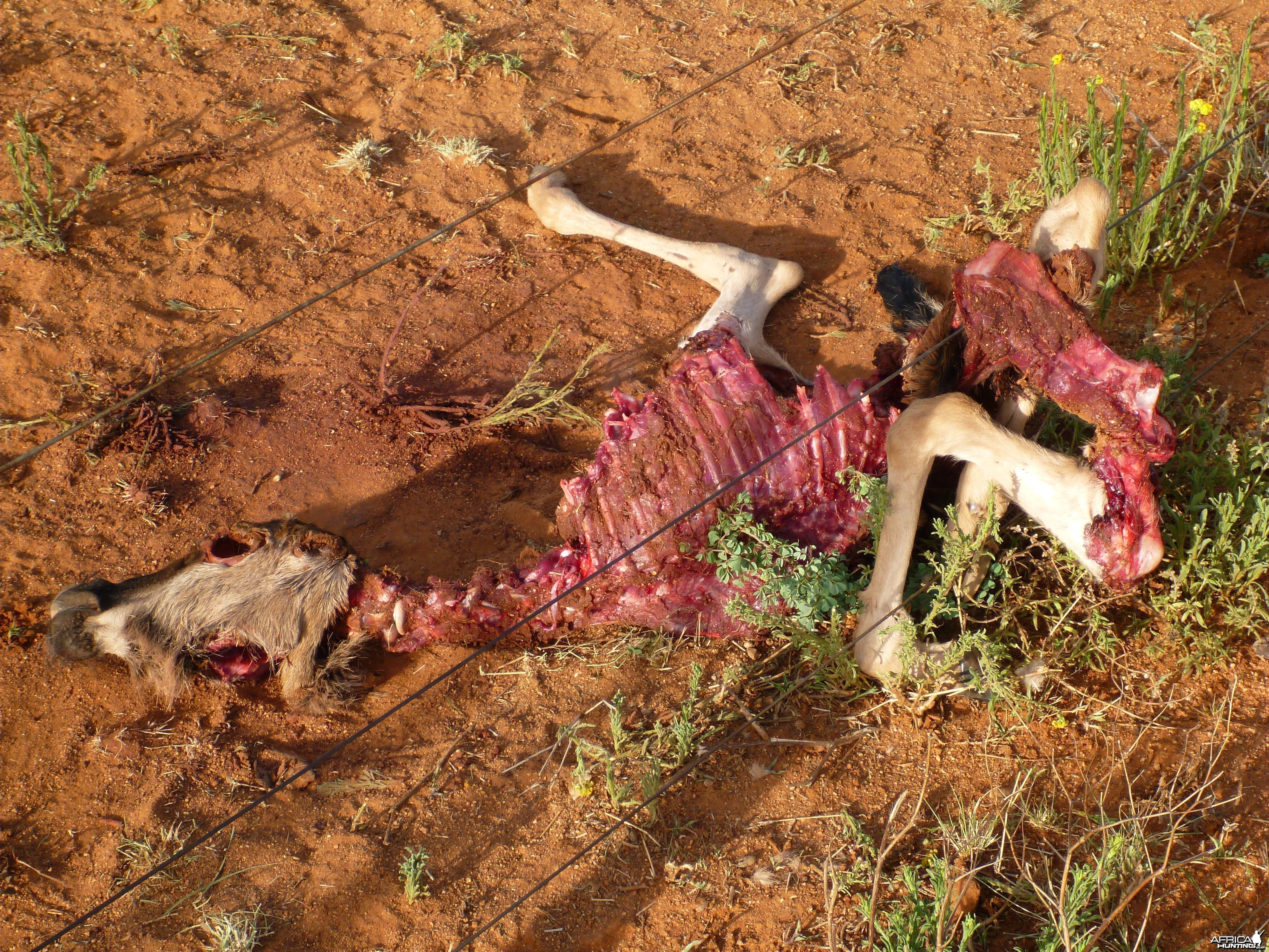 Young Blue Wildebeest Carcass