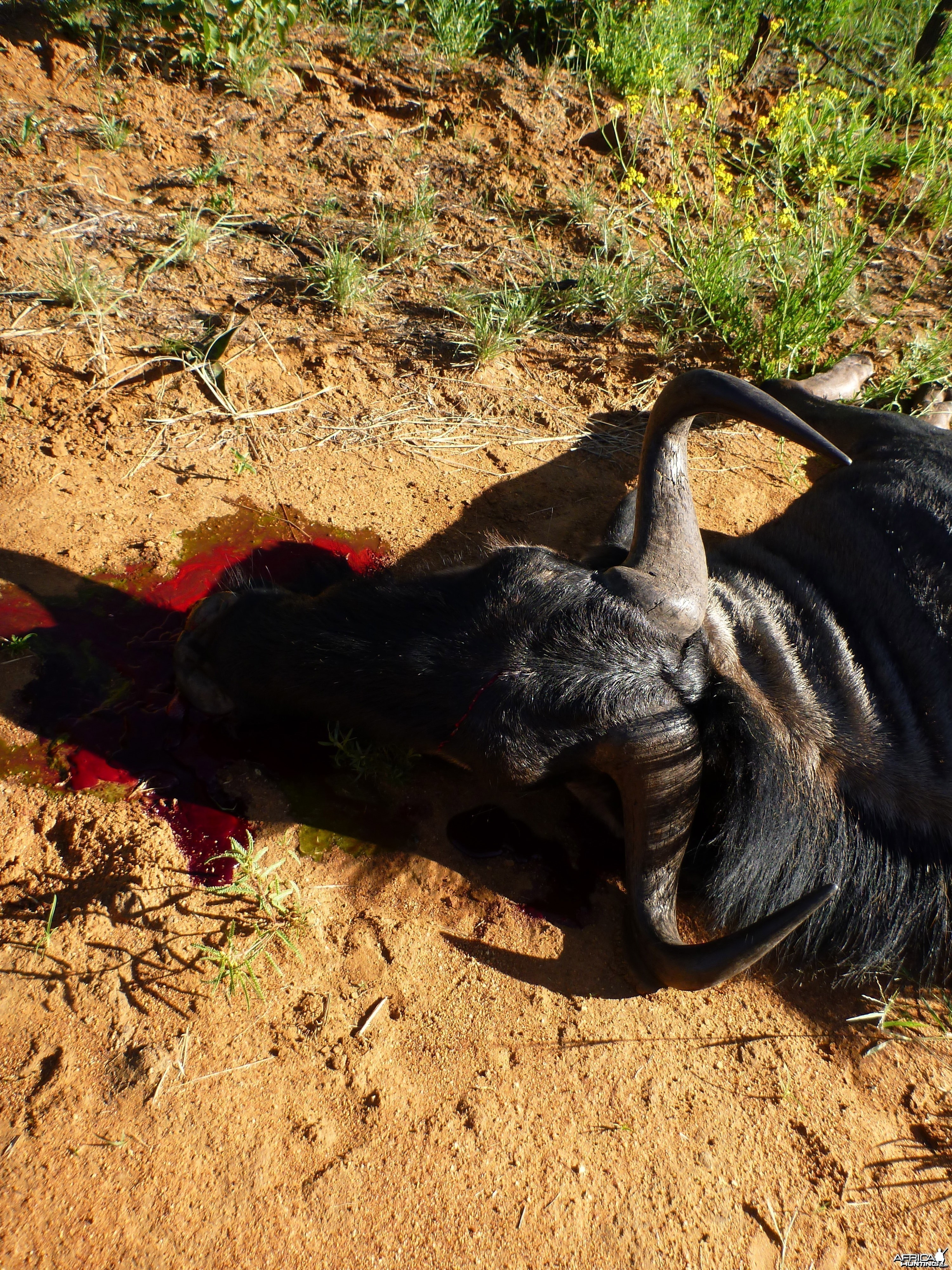 Cull Blue Wildebeest Namibia