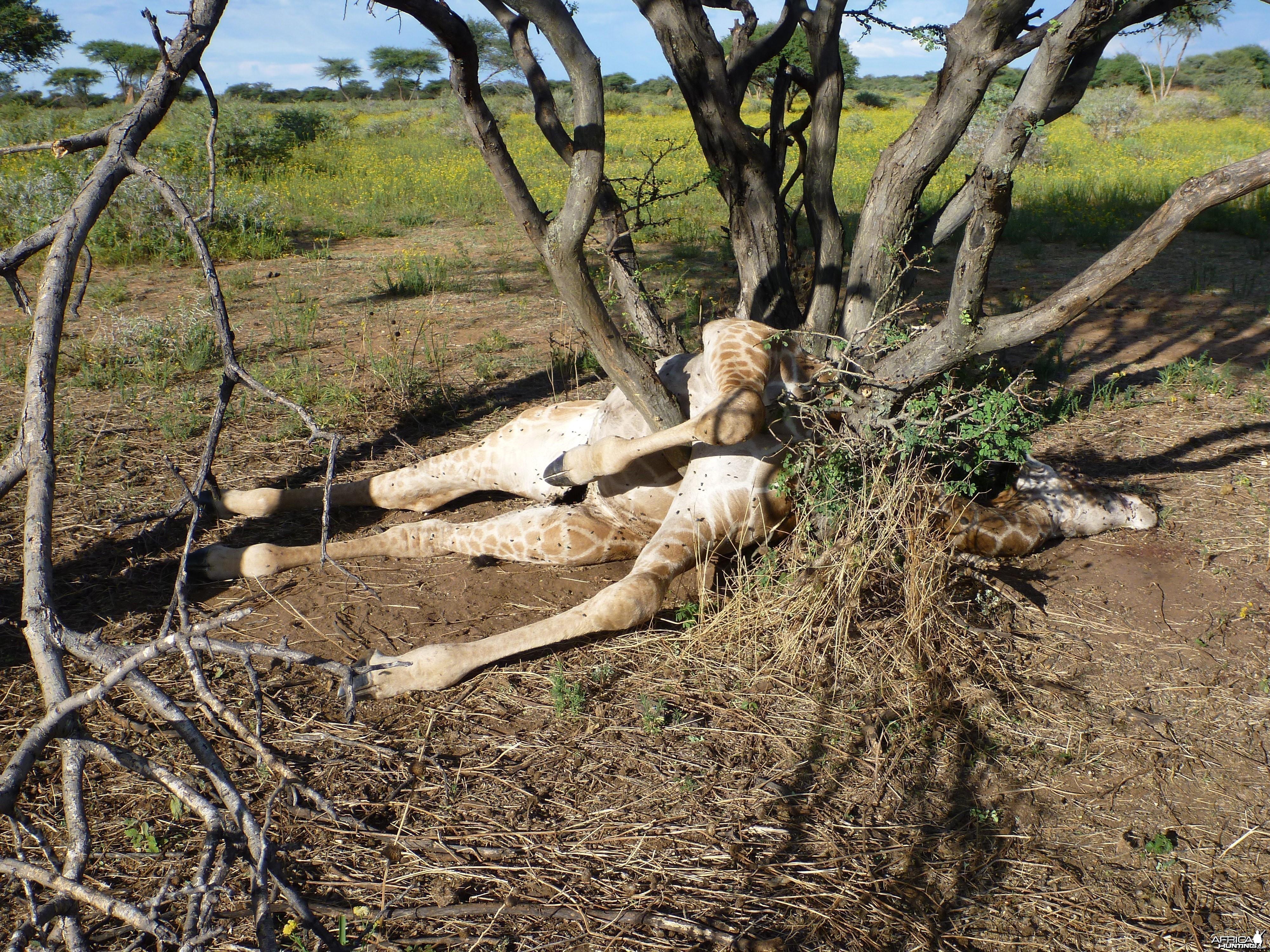 Dead Giraffe Namibia