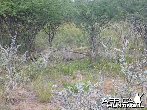 Dead Gemsbok Namibia