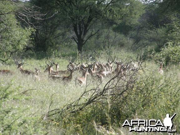 Namibia Impala